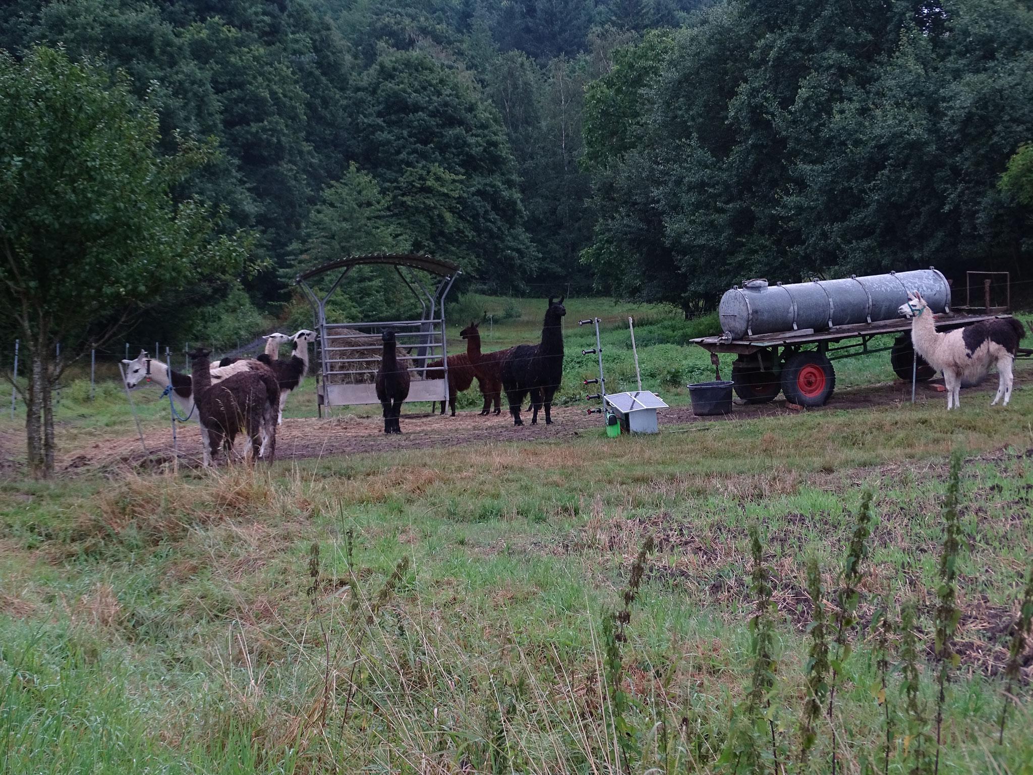 Ein erster Blick auf die sich als störrisch - wenn Gras in der Nähe - herausstellenden Lamas ;)