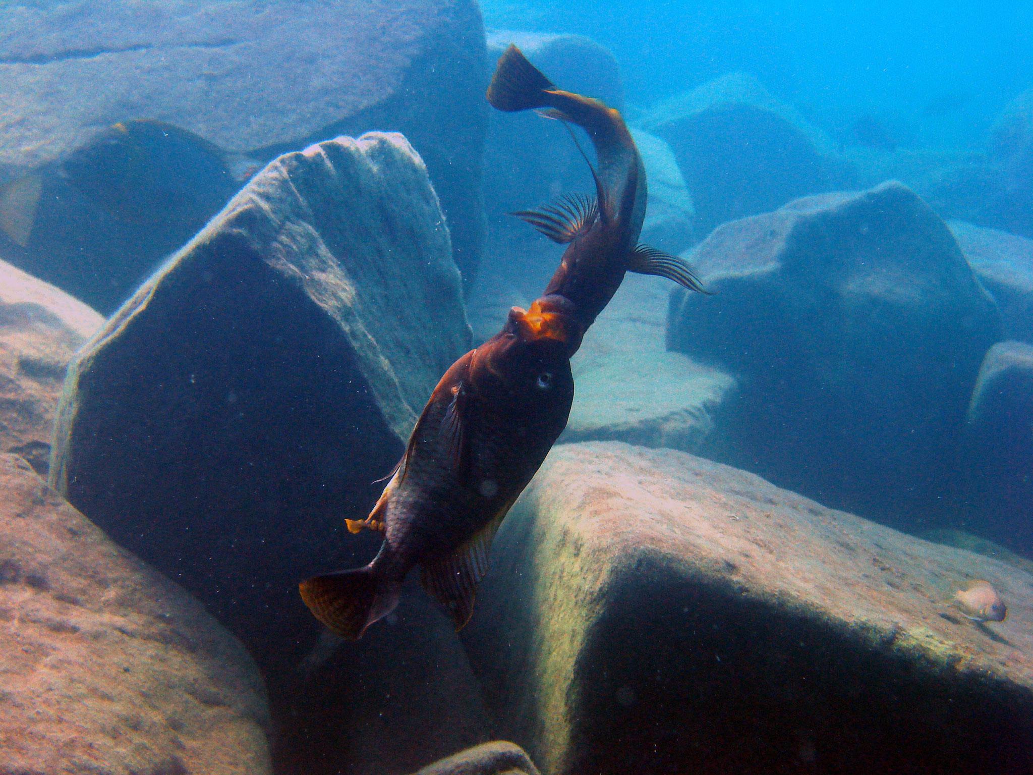 Petrochromis beim Revierkampf