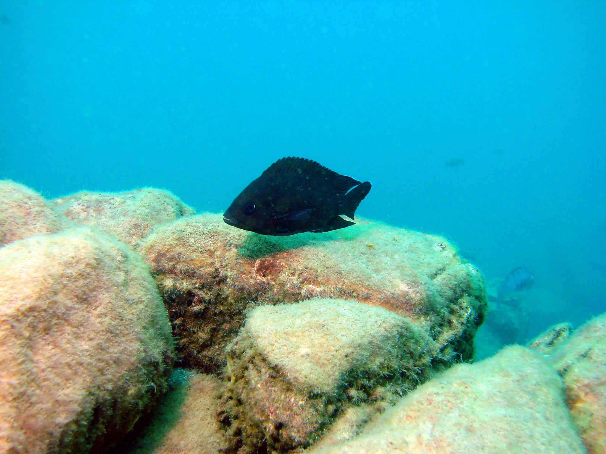 Variabilichromis moori bei der Brutpflege