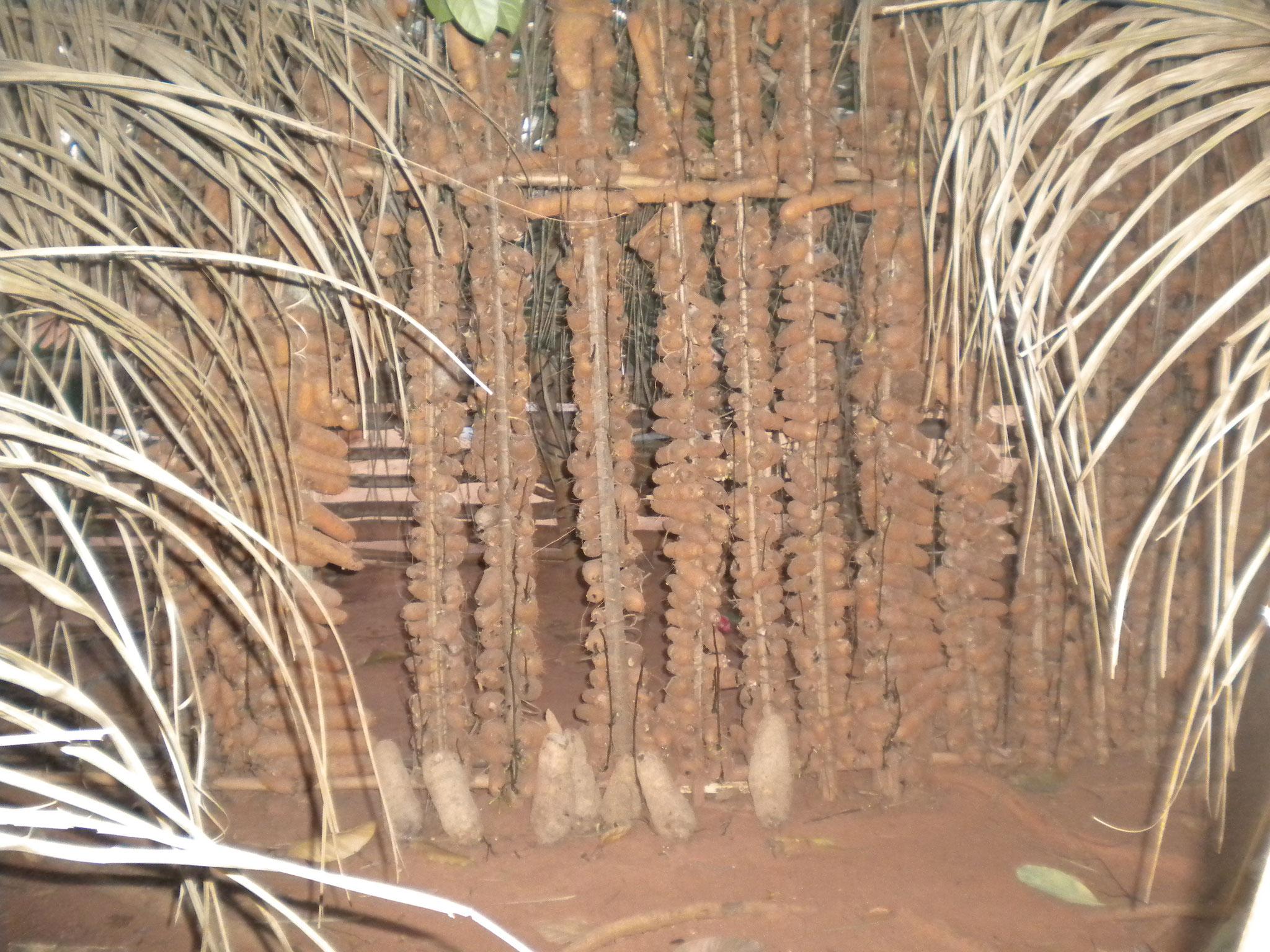Yam Wurzel wir vor der Regensaison gepflanzt