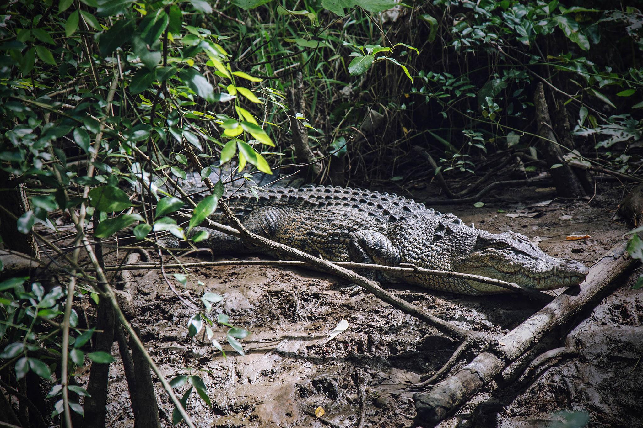 Krokodil im Daintree-Rainforest