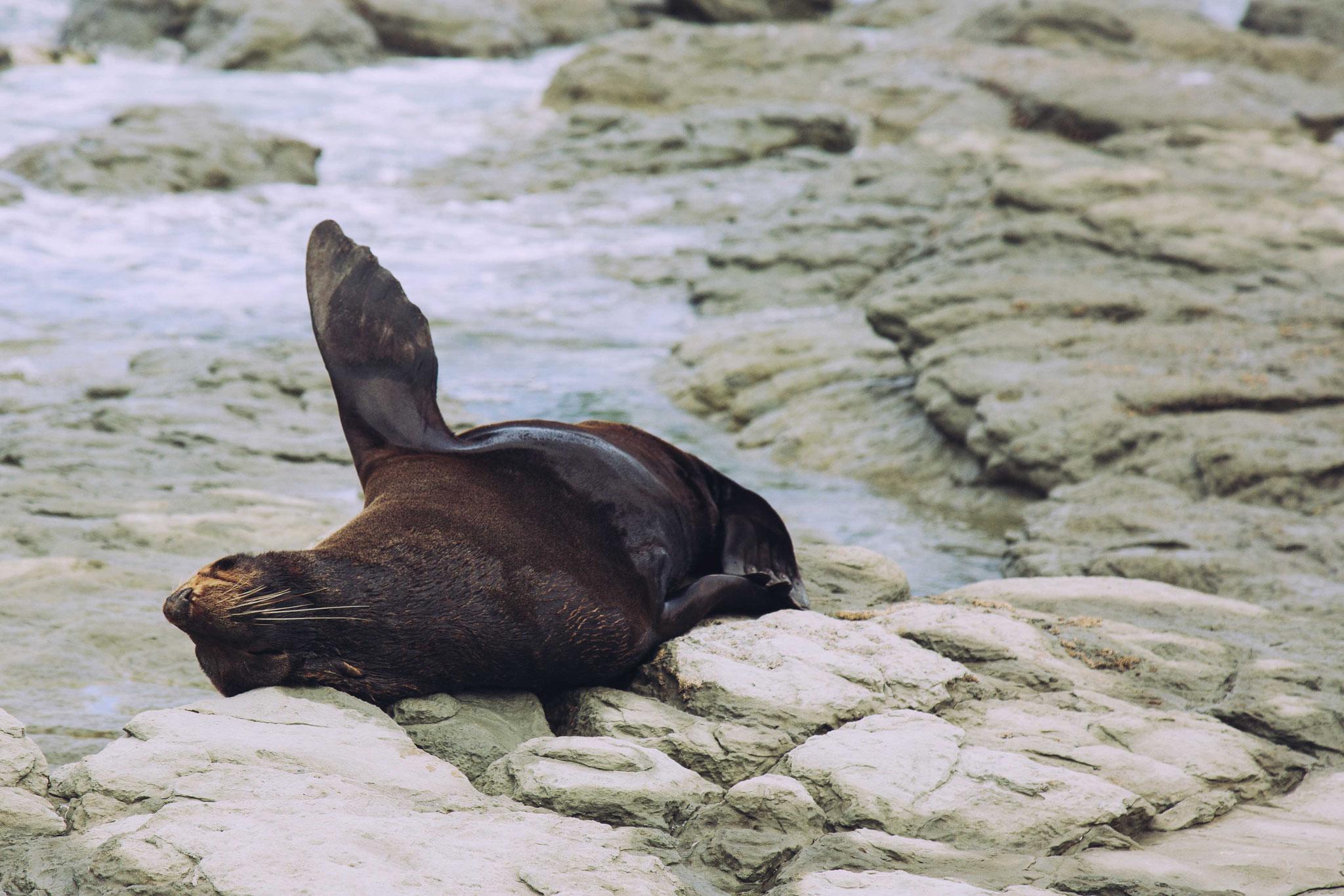Seal - Kaikoura