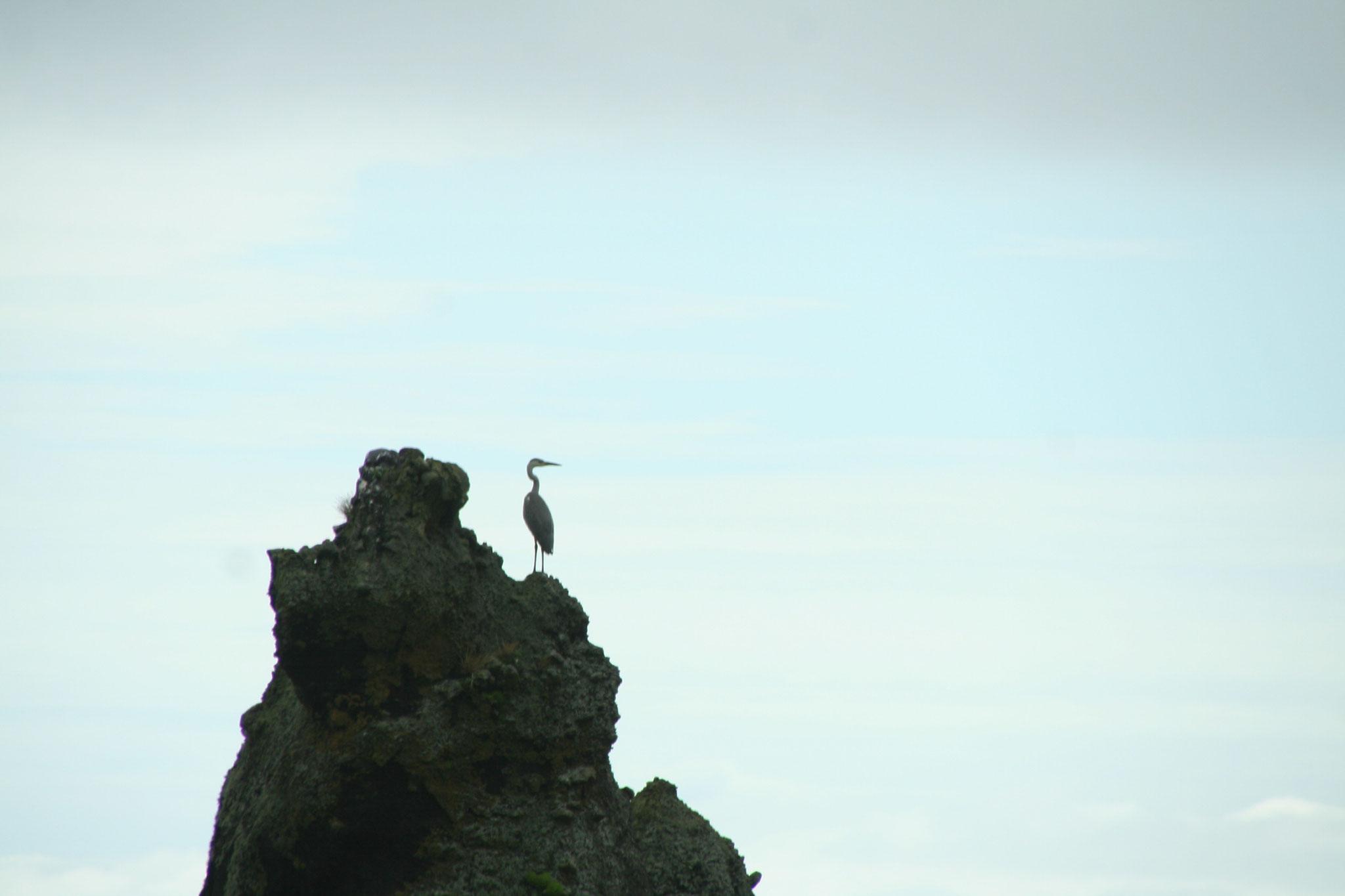 首長鳥 国後島を臨んでポーズ。