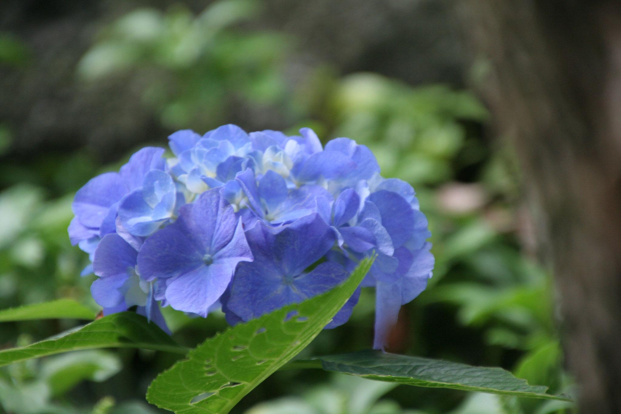 紫陽花はじめ花も鑑賞できます。