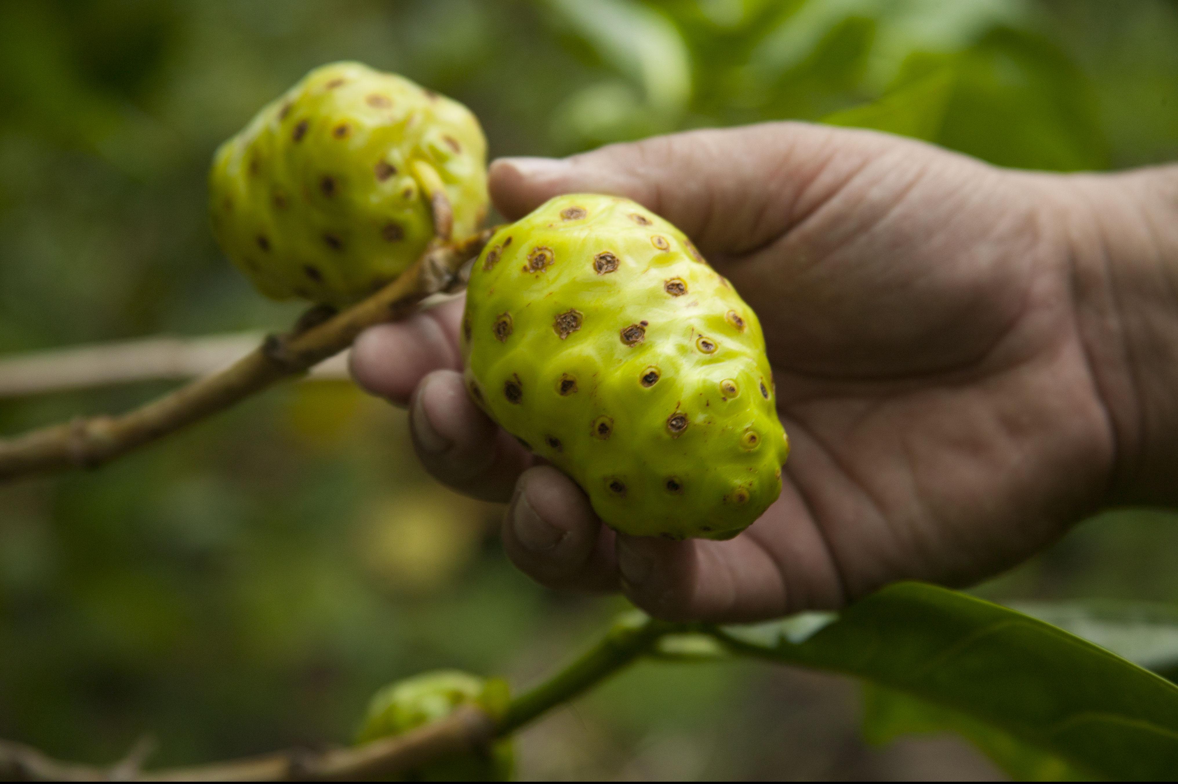 Noni-Frucht am Baum
