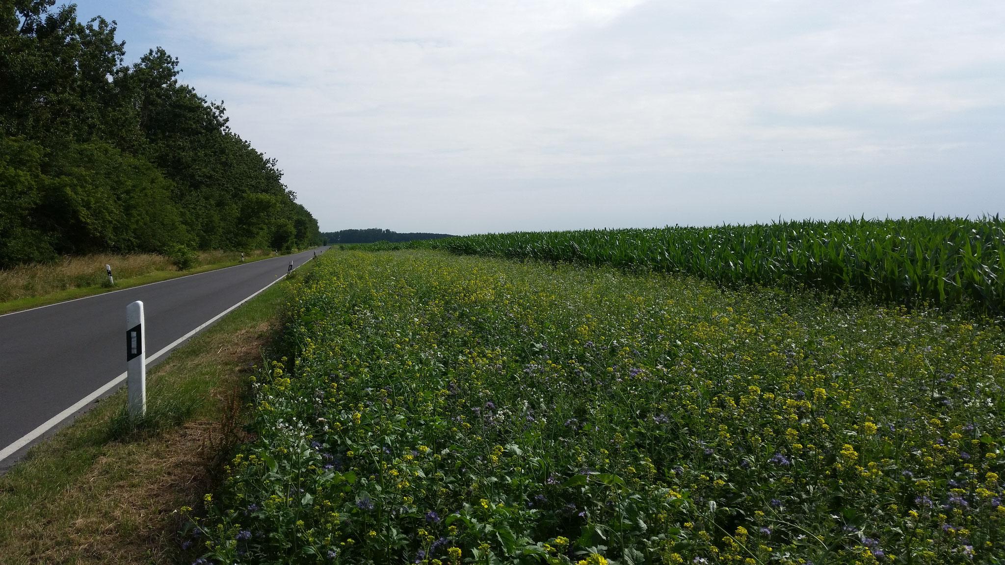 Blühstreifen am Mais