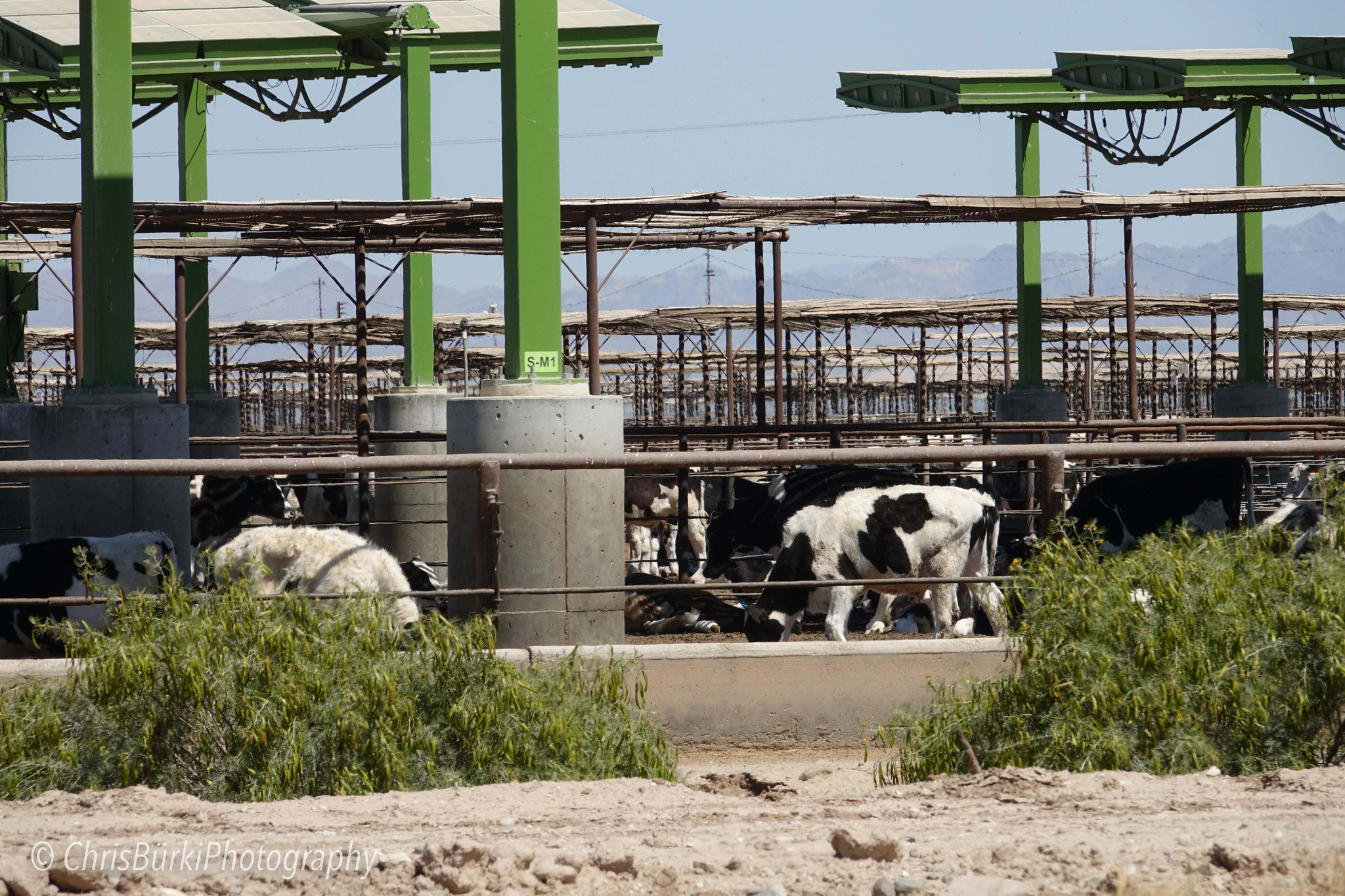 for supply of livestock