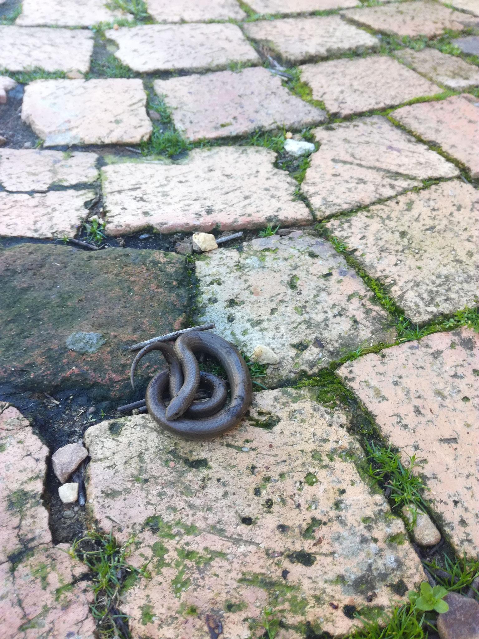 Eine kleine Schlange vor der Tür