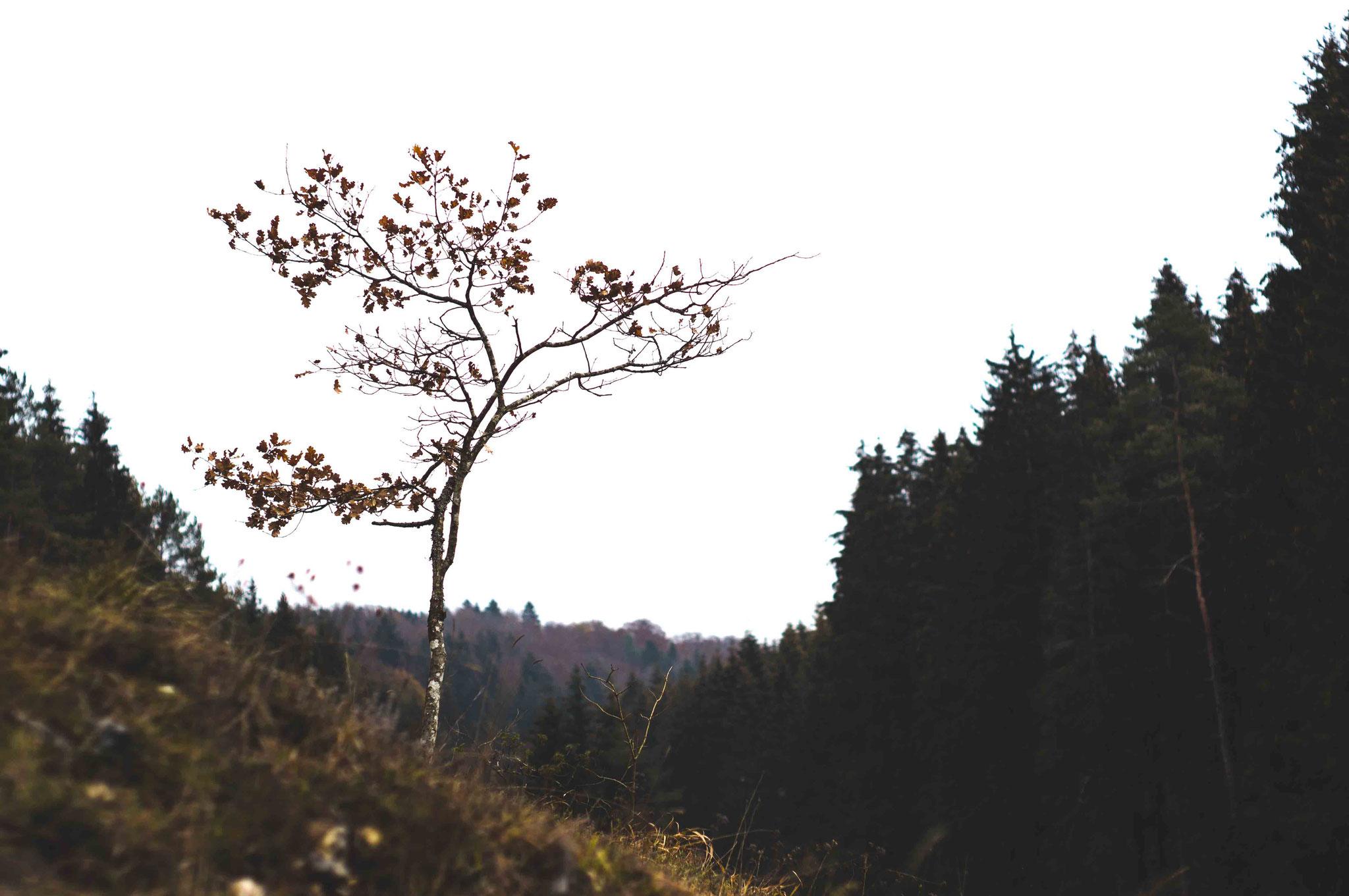 Einzelner Baum im Lautertal; Schwäbische Alb