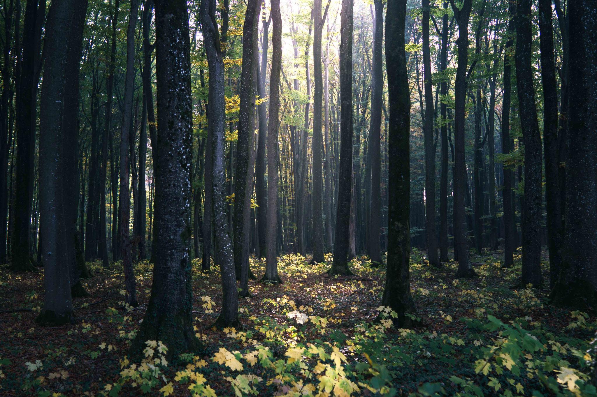 Lichtstrahl im Wald; Schwäische Alb bei Grabenstetten