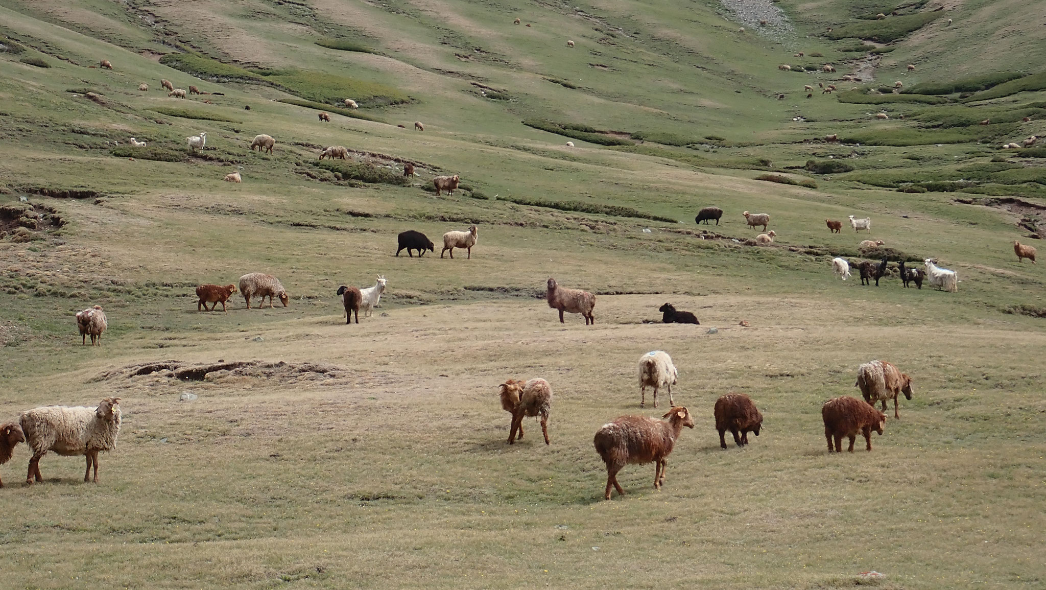 Sheep were grazing throughout the mountain pass.