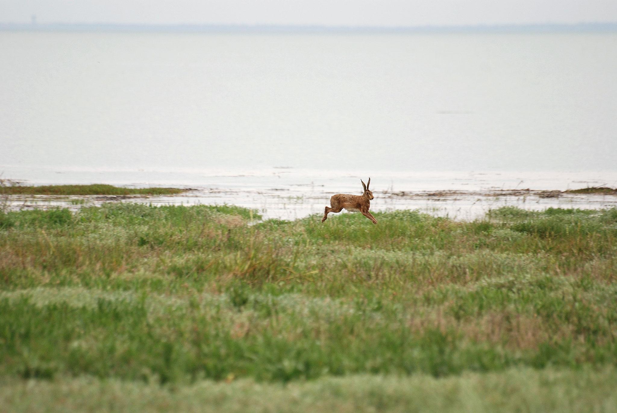 Lièvre (Lepus europea) dans les prés salés