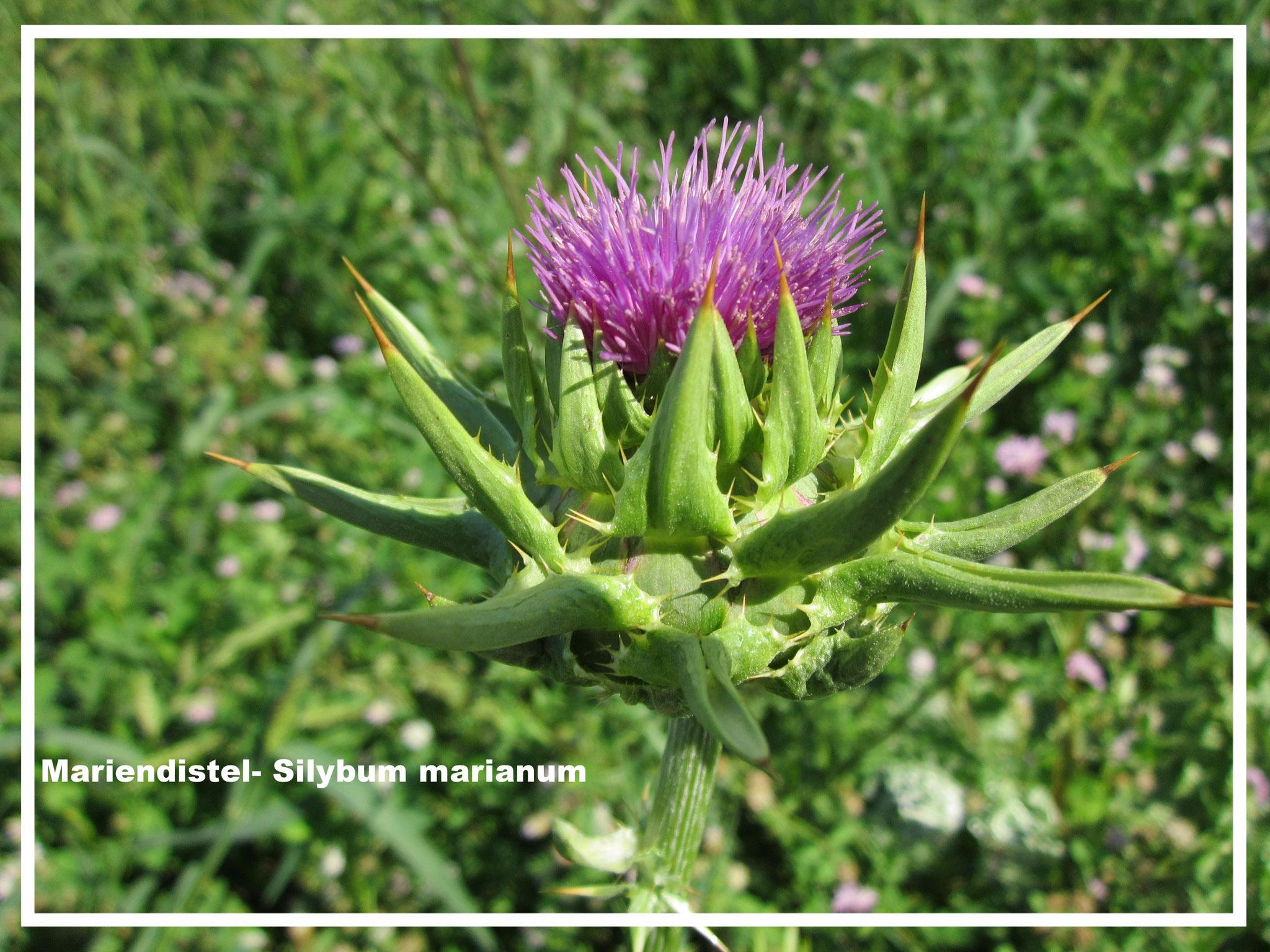 Marinedistel Pflanze- Silybum marianum
