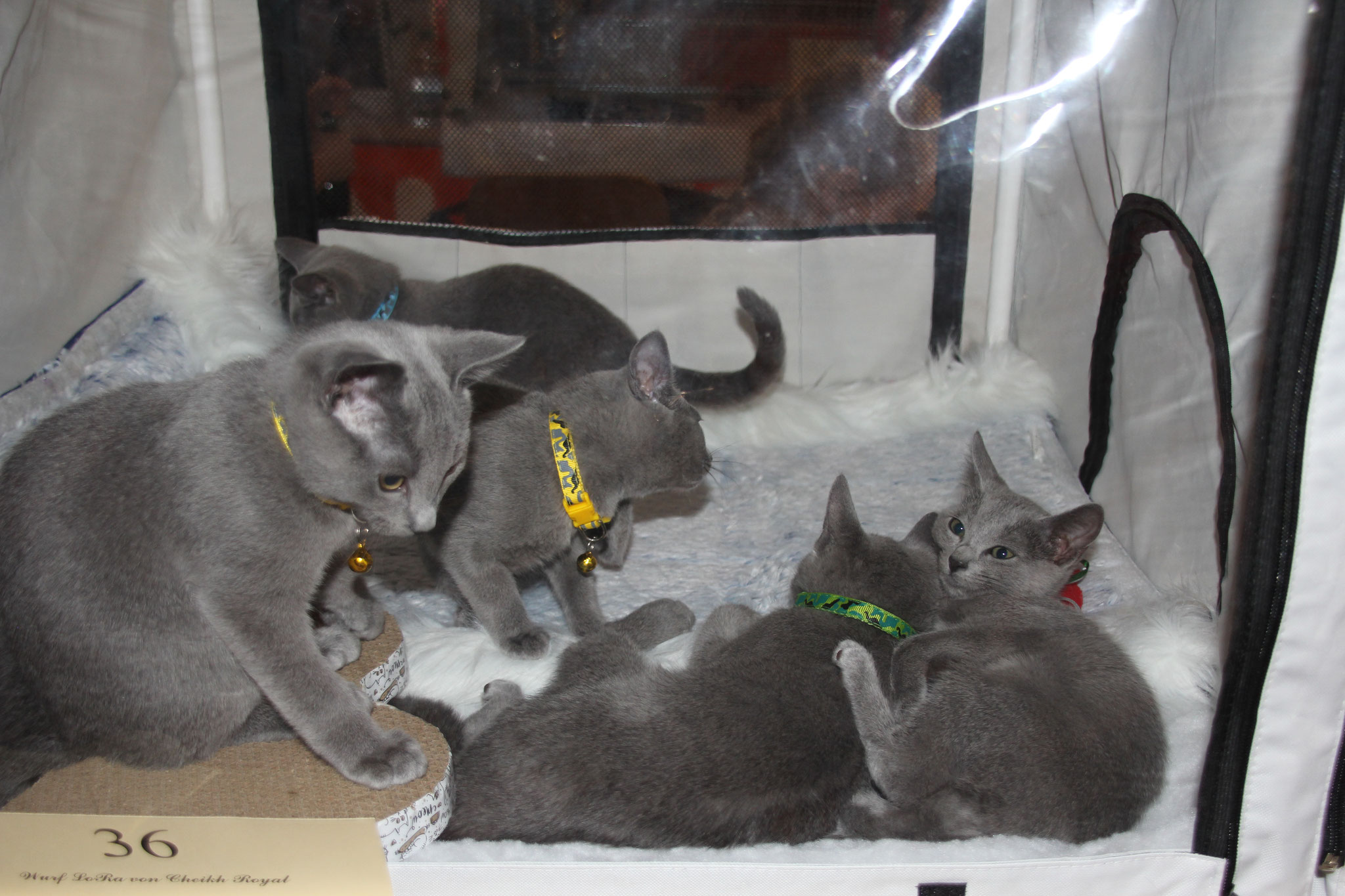 Wurf LoRa: Archibald, Alwin, Aragon, Alisa, Amira und Arina