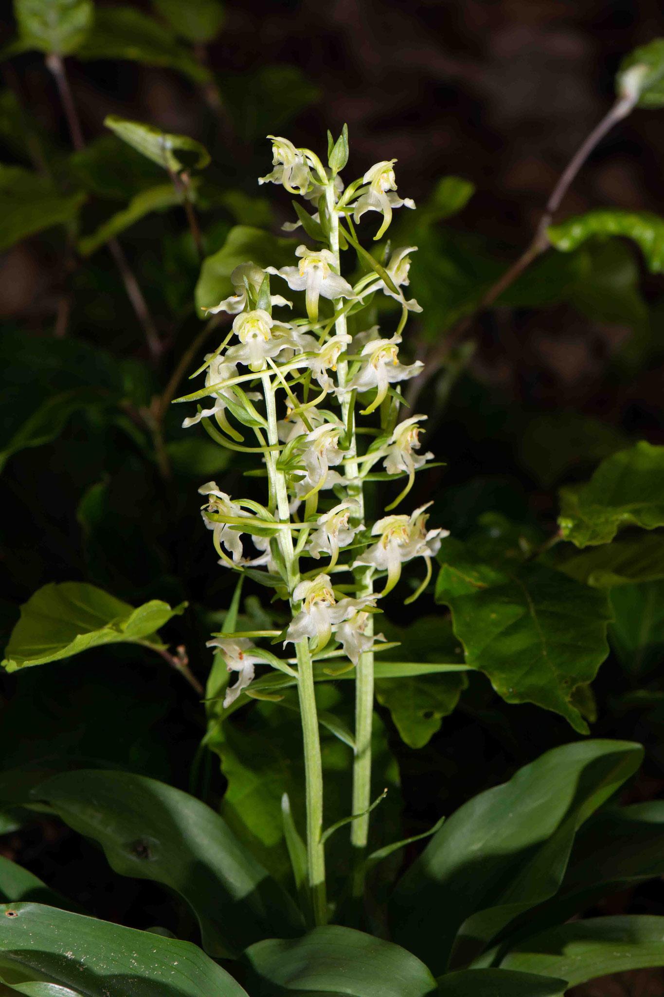 Grünliches Breitkölbchen Platanthera chlorantha