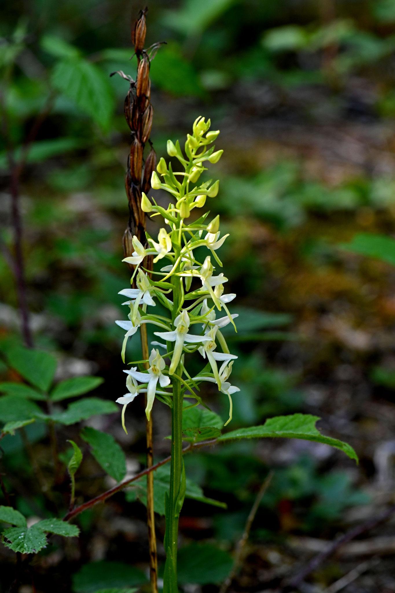Weisse Waldhyazinthe Platanthera bifolia
