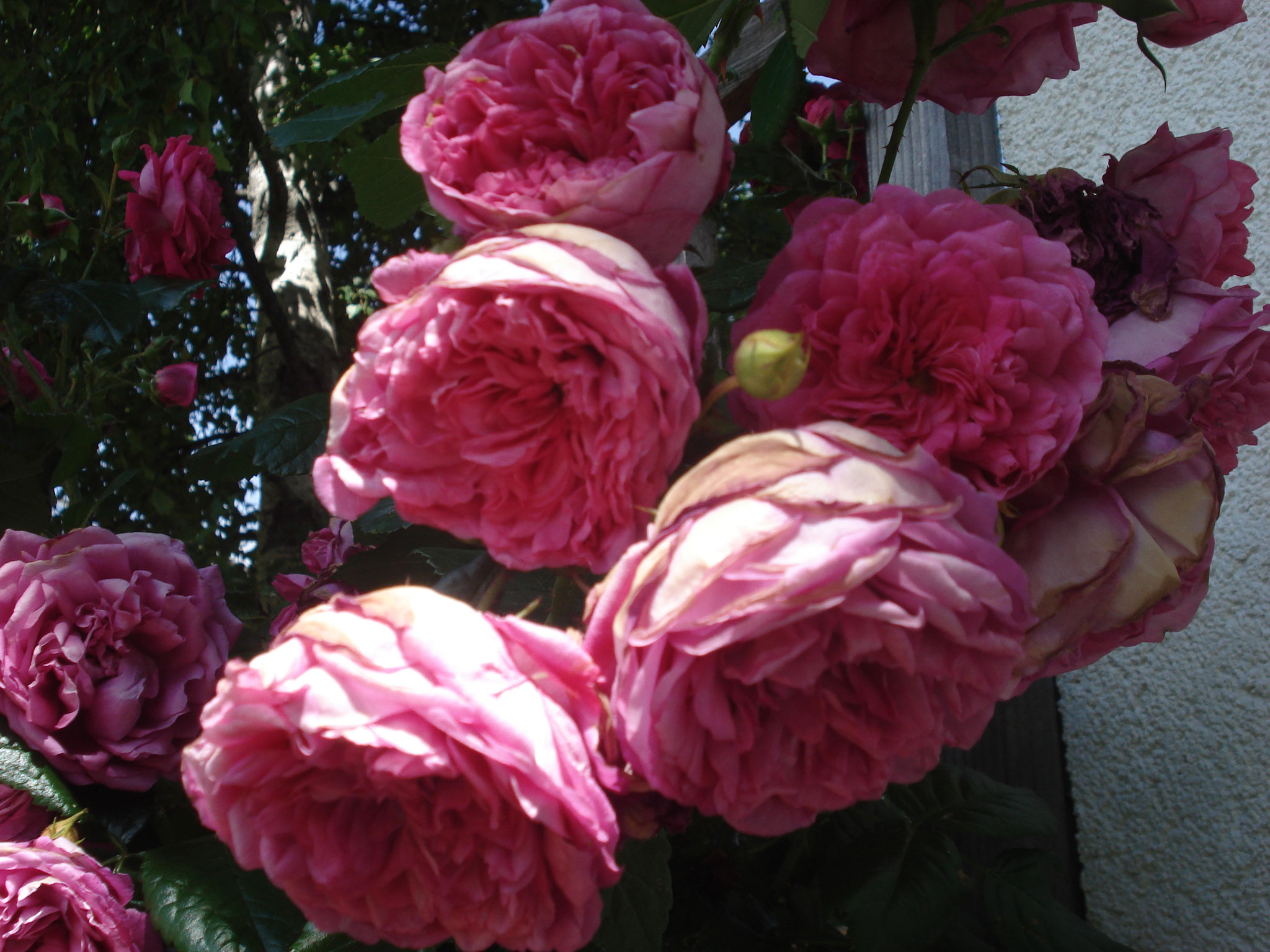 Rosen, die Leidenschaft der Bäuerin