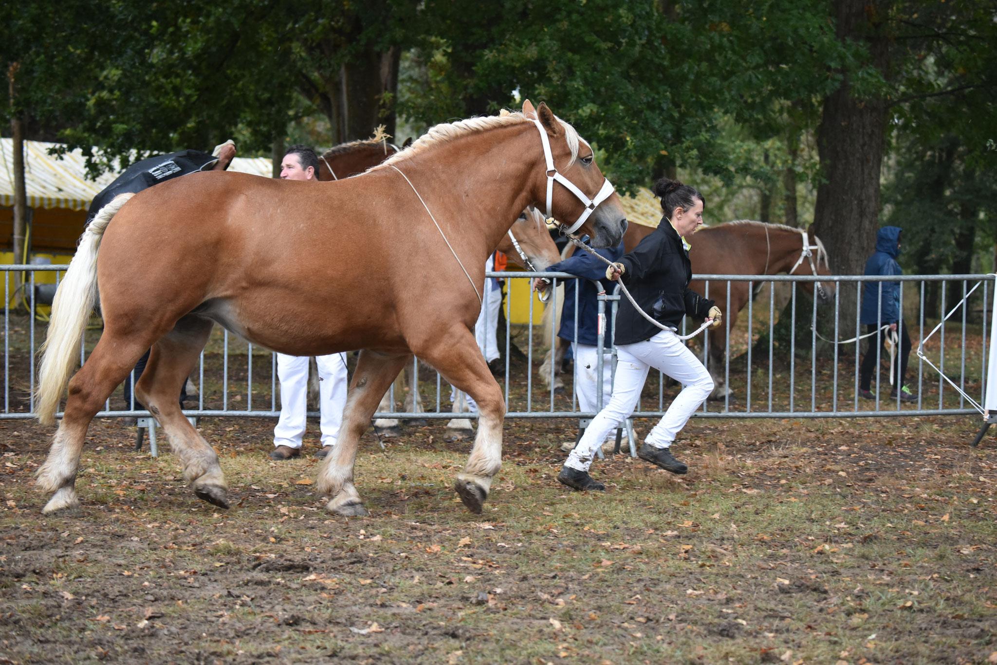 Concours Régional de chevaux de traits en 2017 - Trait COMTOIS - ETOILE 90 - 53