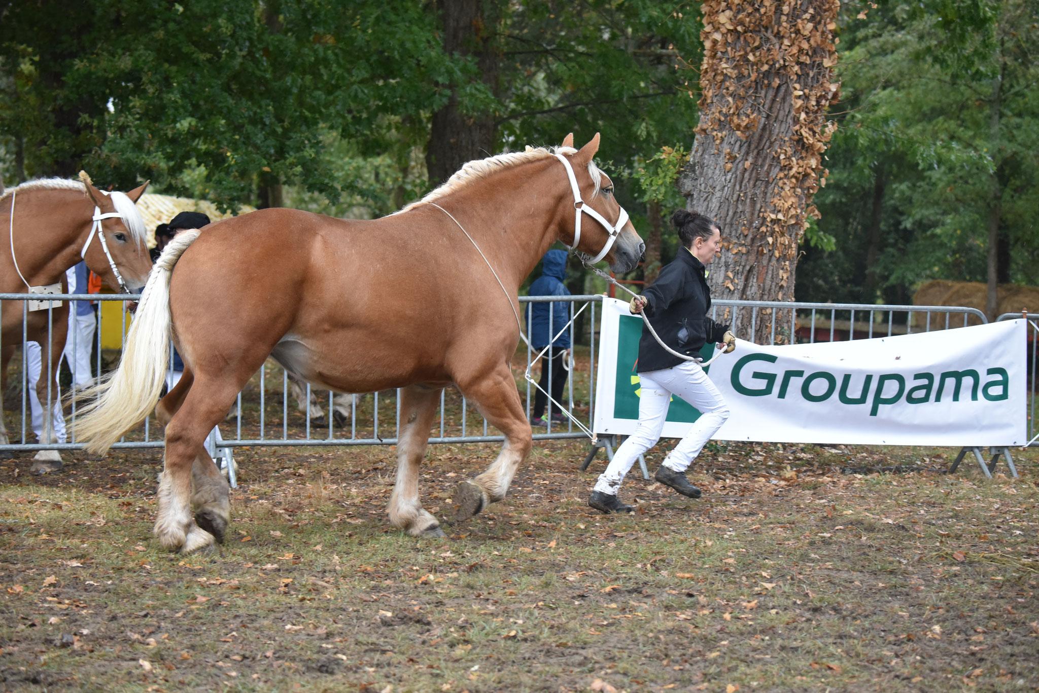 Concours Régional de chevaux de traits en 2017 - Trait COMTOIS - ETOILE 90 - 56