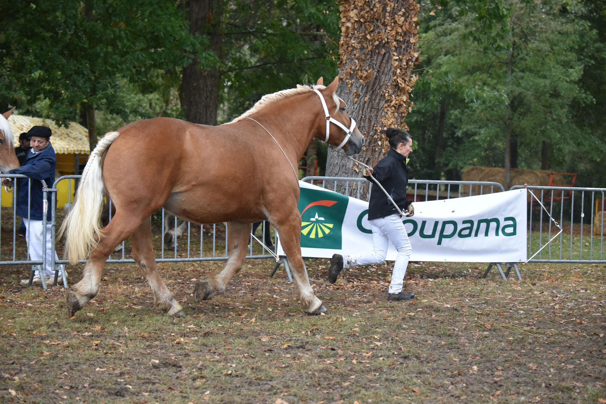 Concours Régional de chevaux de traits en 2017 - Trait COMTOIS - ETOILE 90 - 57