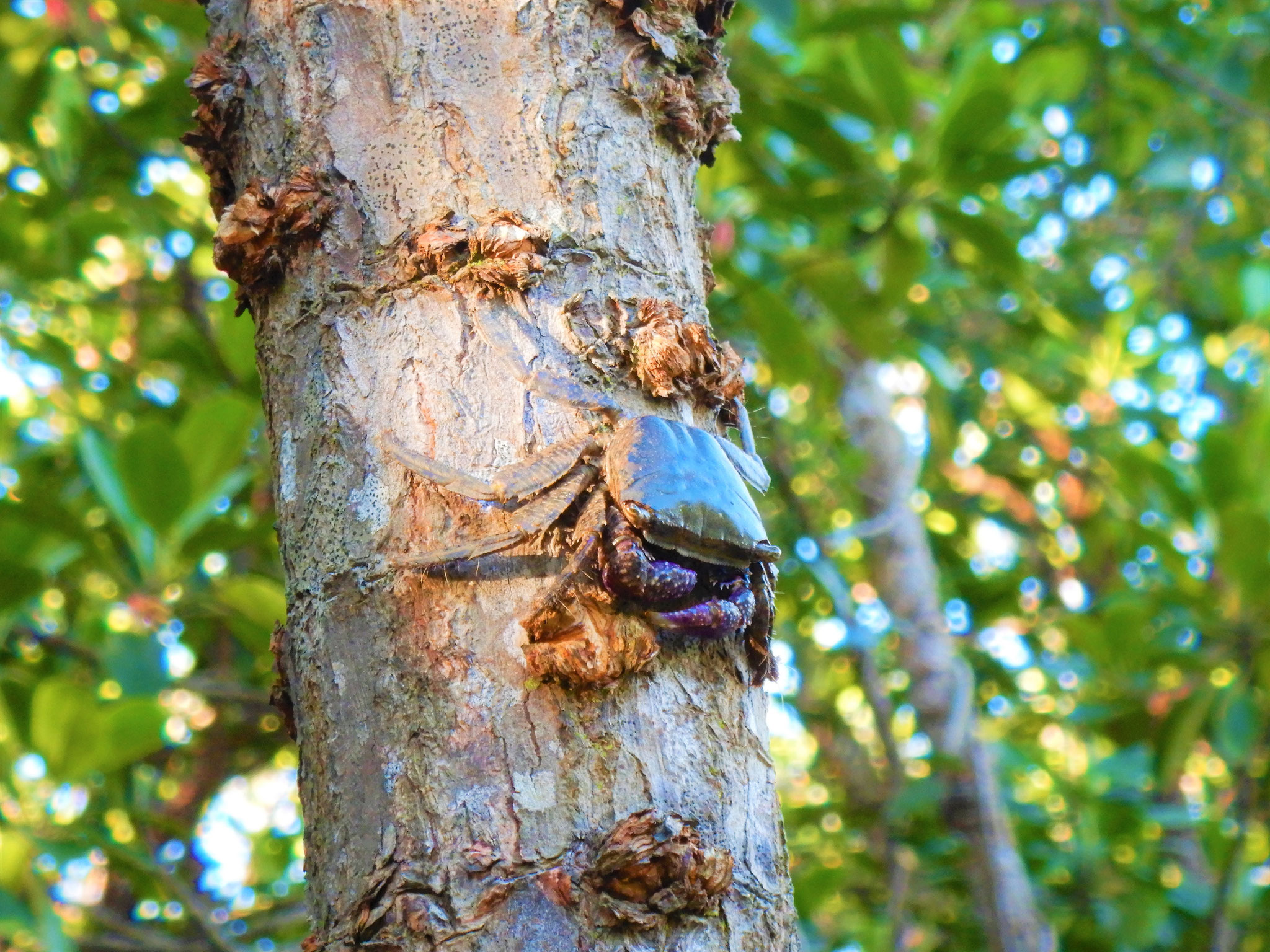 カニが木登りしているよ!
