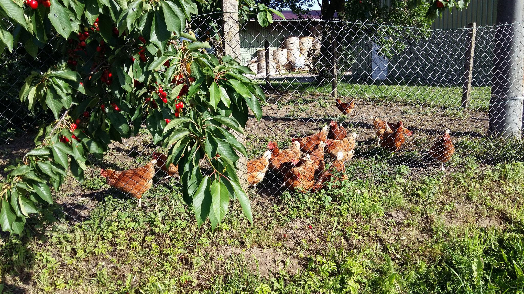 Auch die Hühner freuen sich über die vielen Kirschen