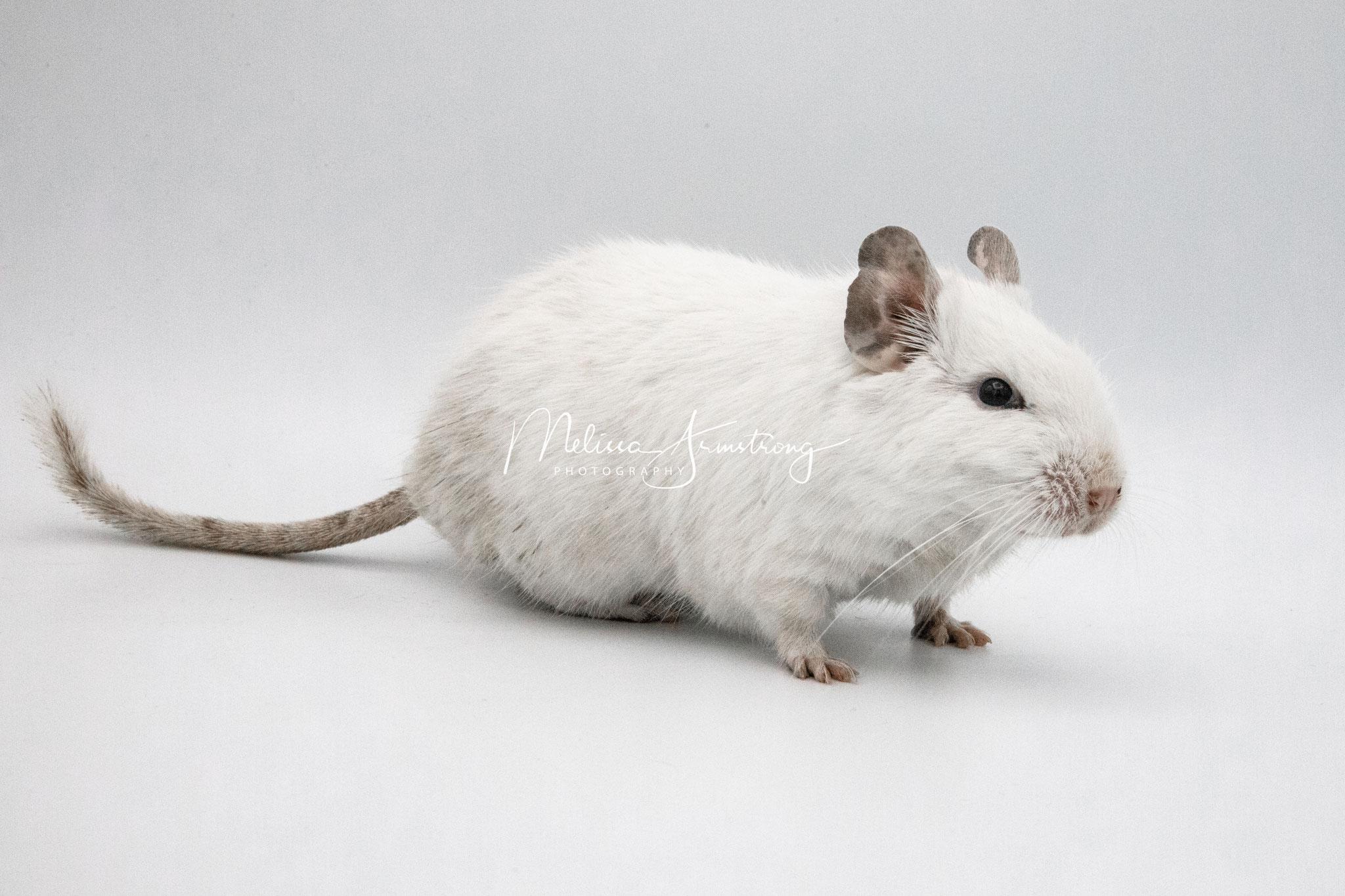 Degu Weiß