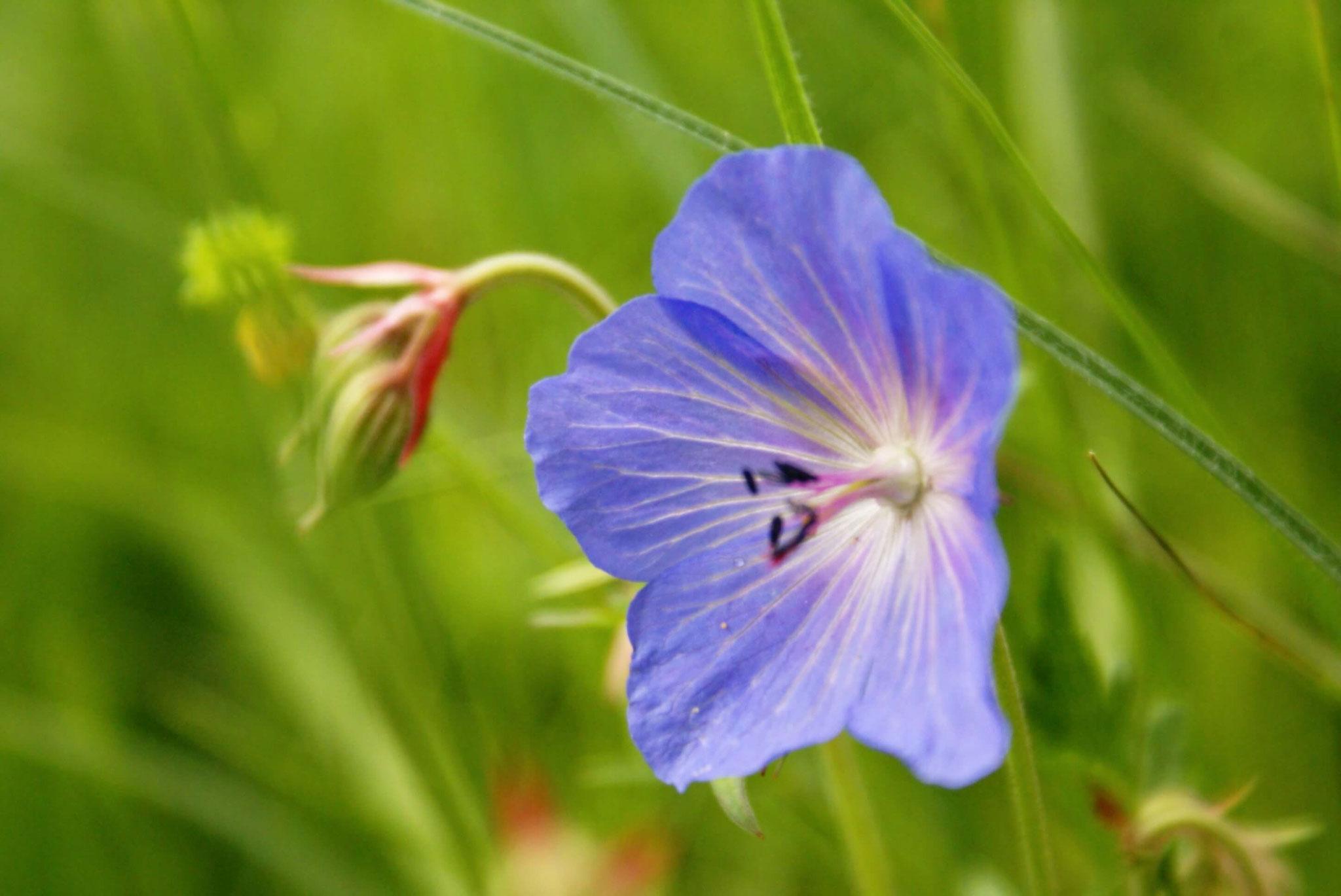 Fleur-de-prairie