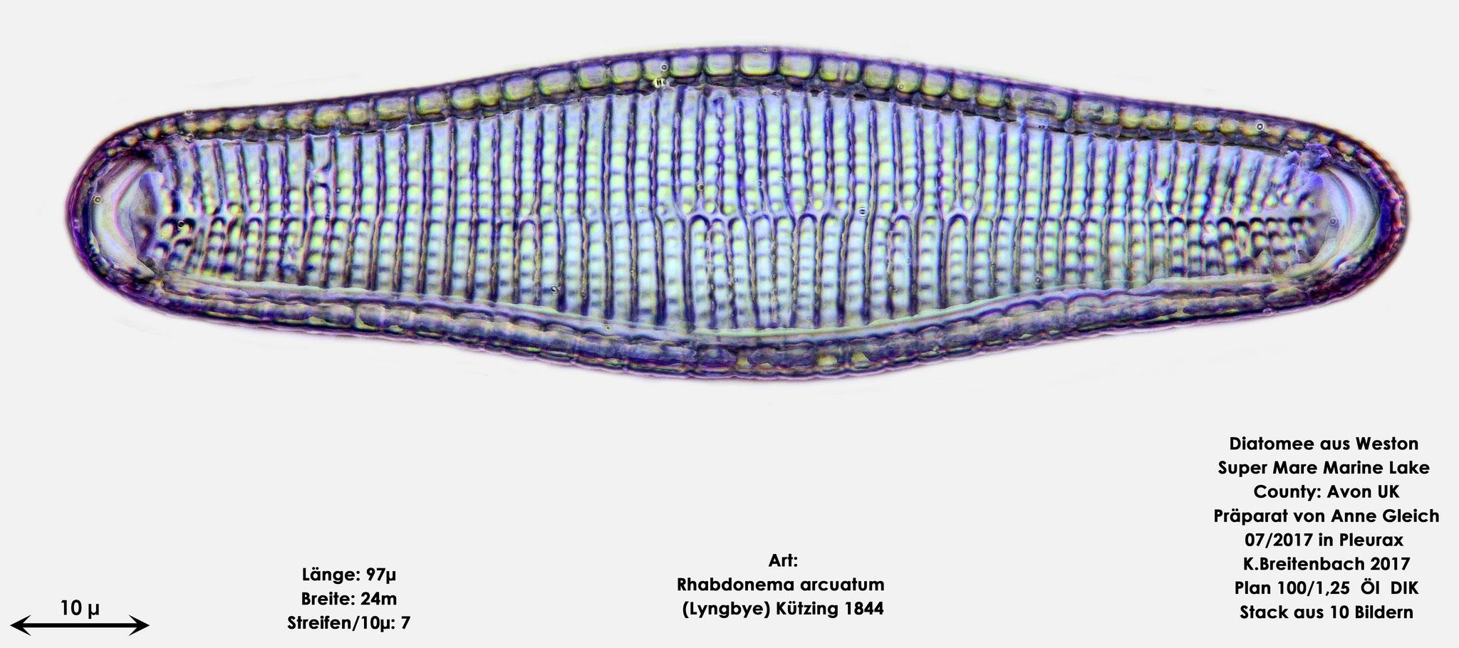Bild 38 Diatomeen aus Weston Super Mare, UK; Art: Rhabdonema arcuatum (Lyngbye) Kützing 1844