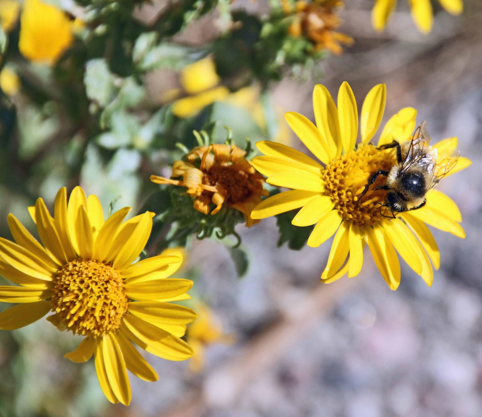Bild 28 Blumen und Bienen im Sinks Canyon