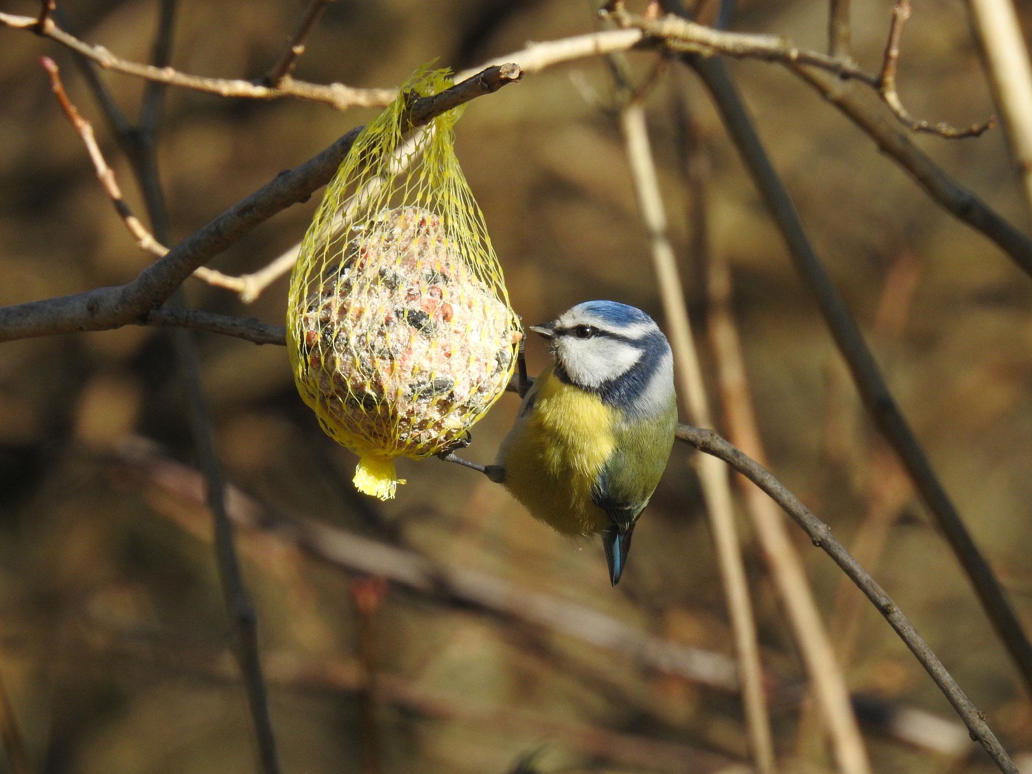 Blaumeise im Garten | Foto: W. Huni