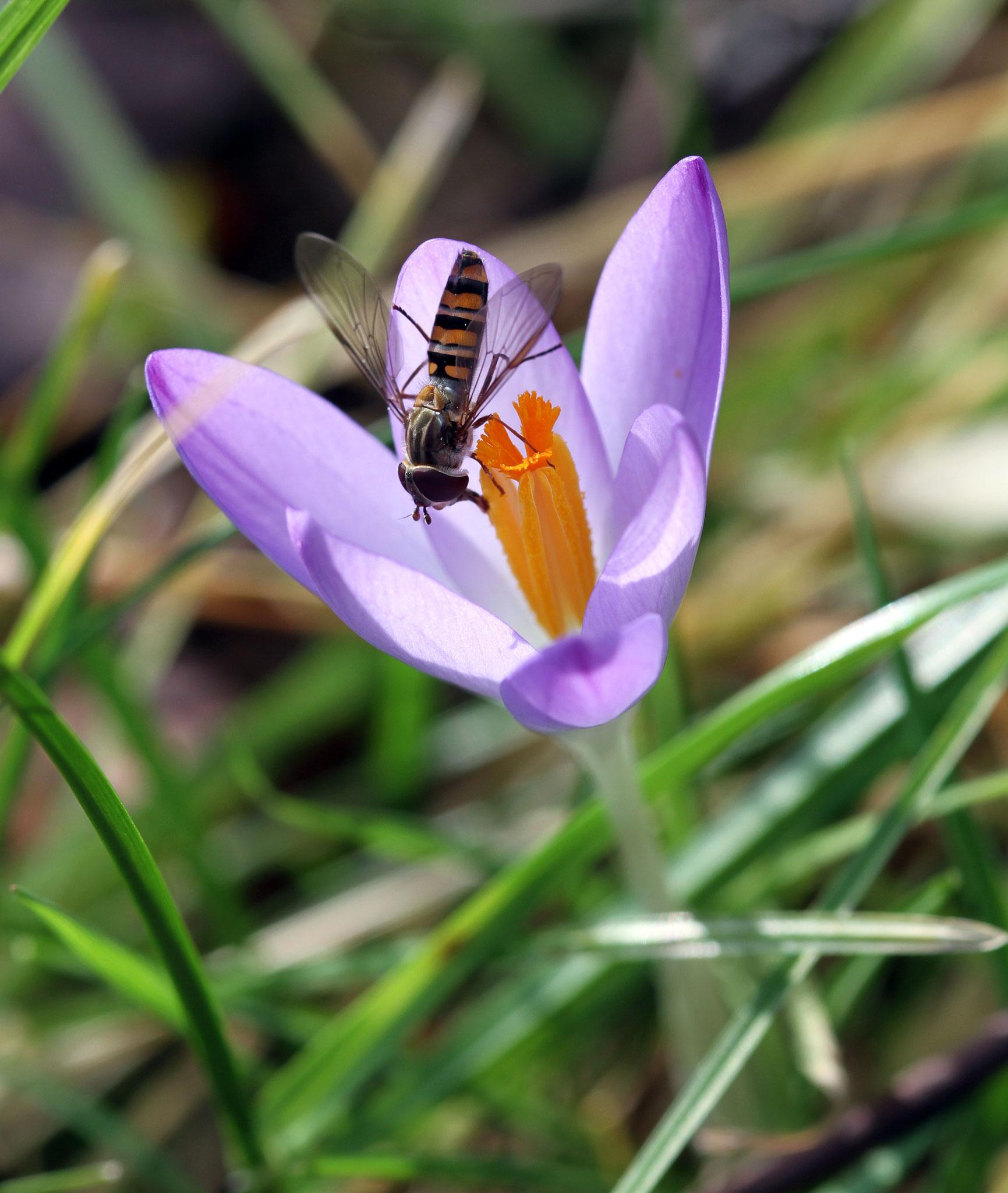 Schwebefliege auf Krokusblüte | Foto: W. Huni