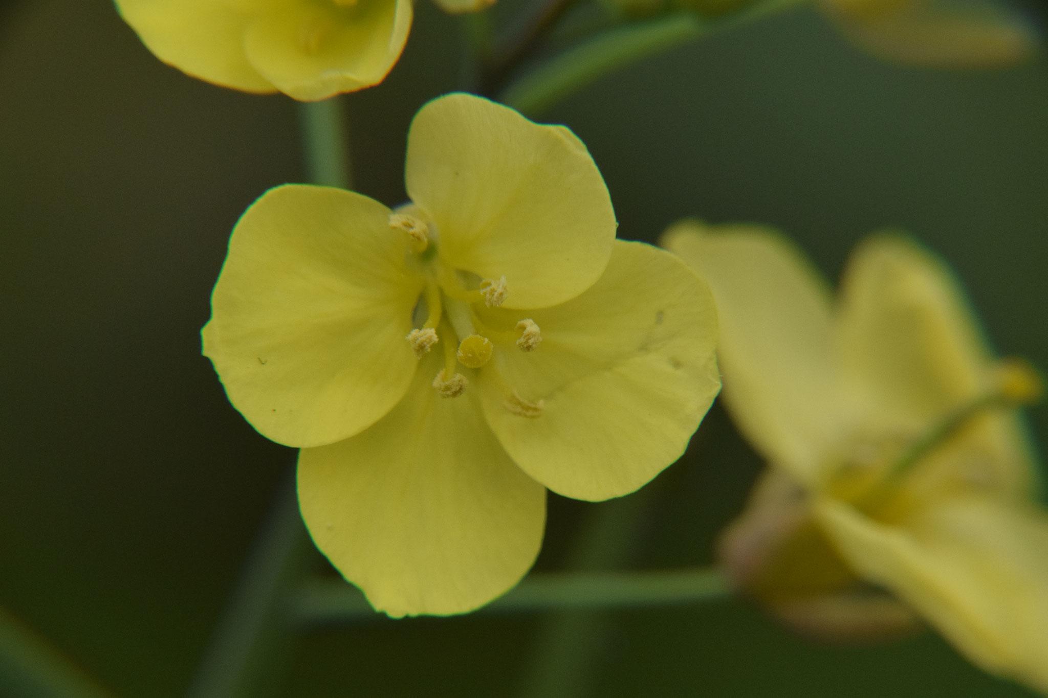 rucola bloemen