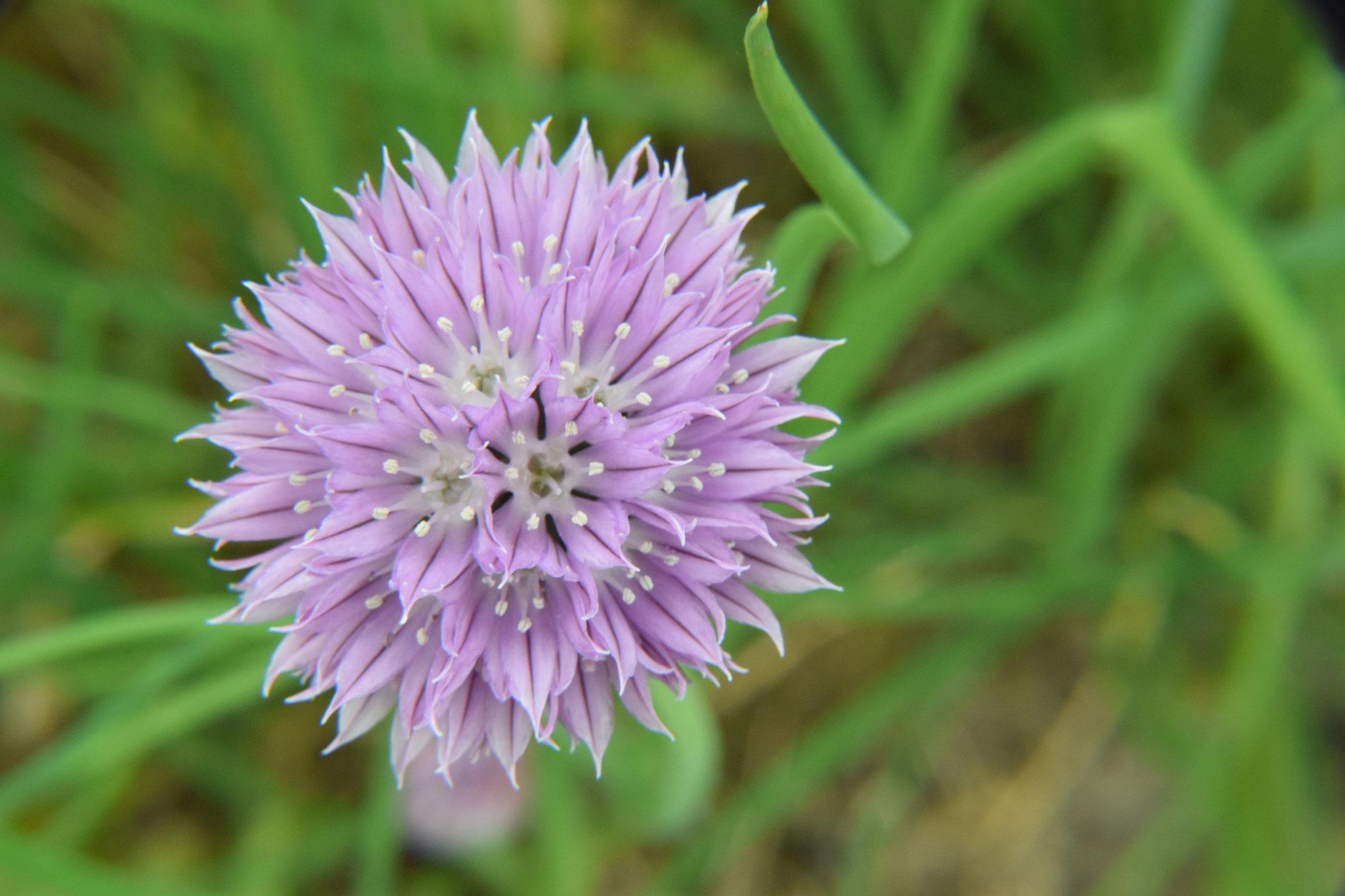 bieslook bloemen