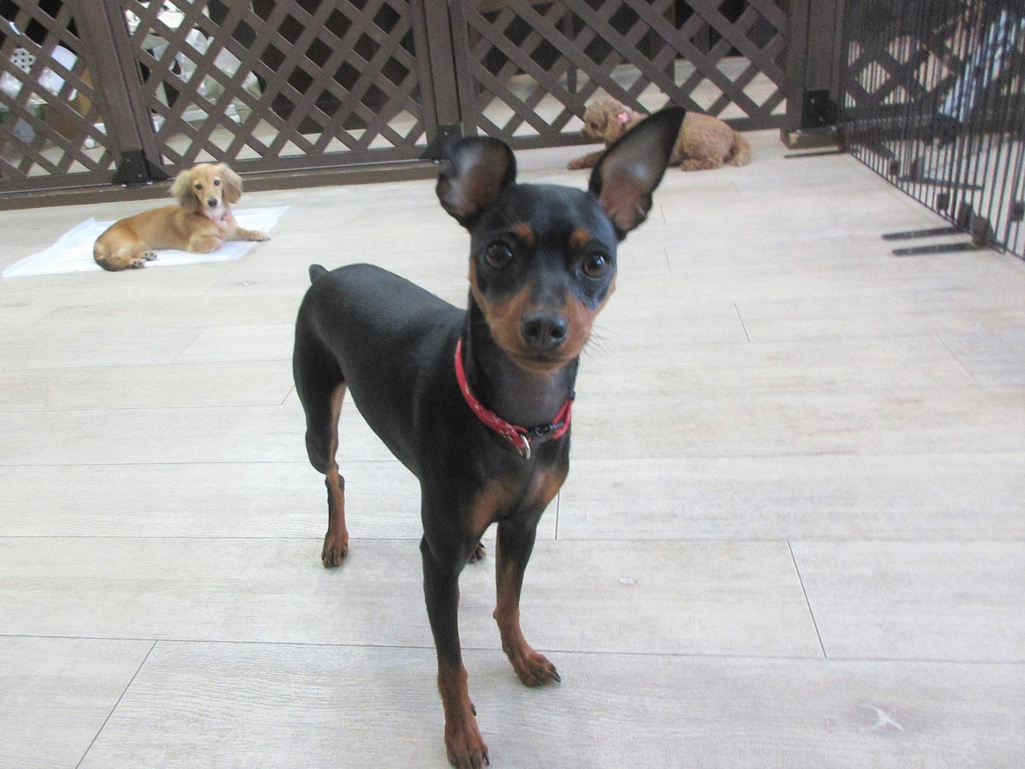 ミニピン体験入園生・犬の保育園Baby・犬・犬のしつけ・犬の社会化・習志野市・八千代市・船橋