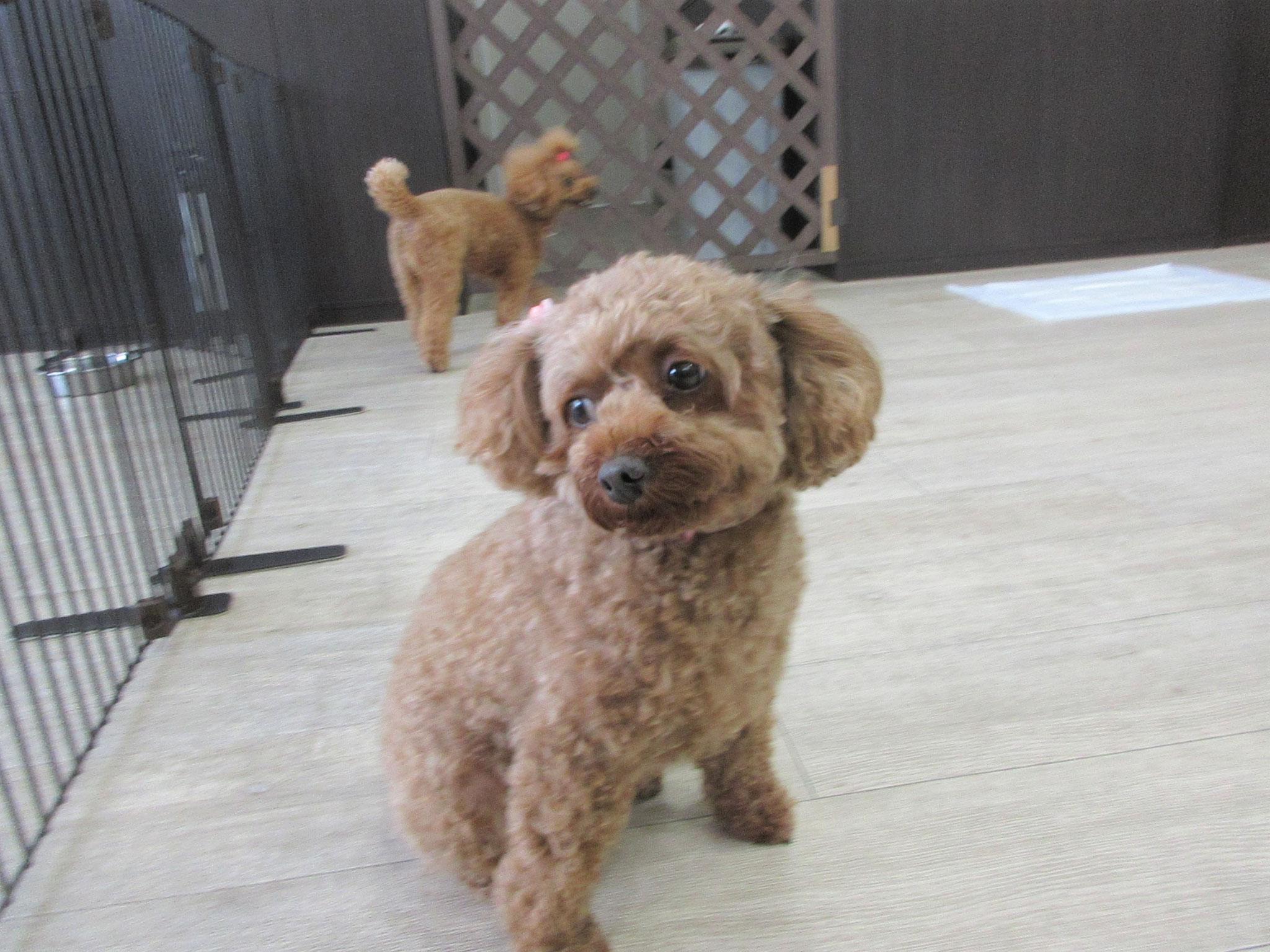 モモちゃん・犬の保育園Baby・犬・犬のしつけ・犬の社会化・習志野市・八千代市・船橋