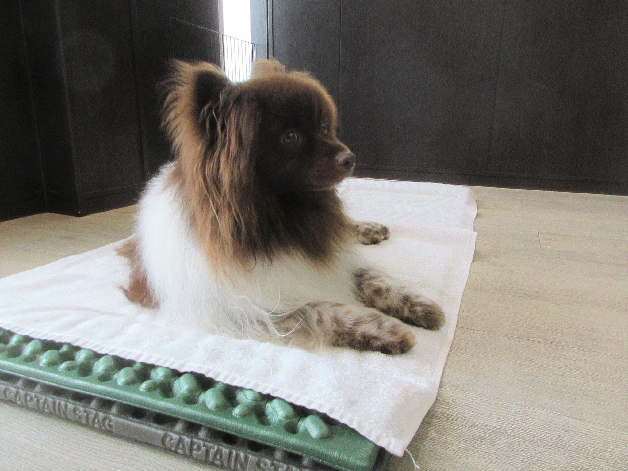 クッキー・犬の保育園Baby・犬・犬のしつけ・犬の社会化・習志野市・八千代市・船橋市