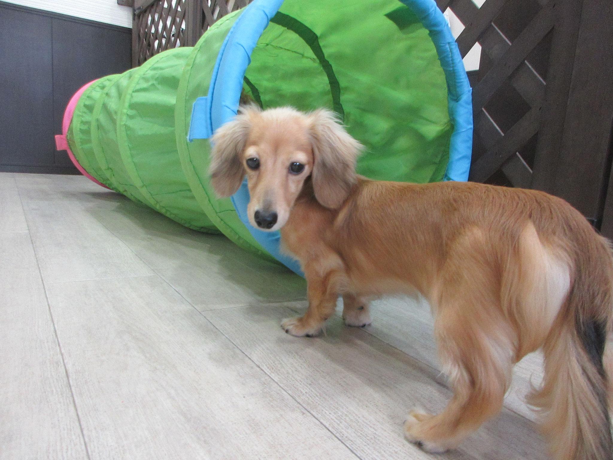 ことちゃん・犬の保育園Baby・犬・犬のしつけ・犬の社会化・習志野市・八千代市・船橋市