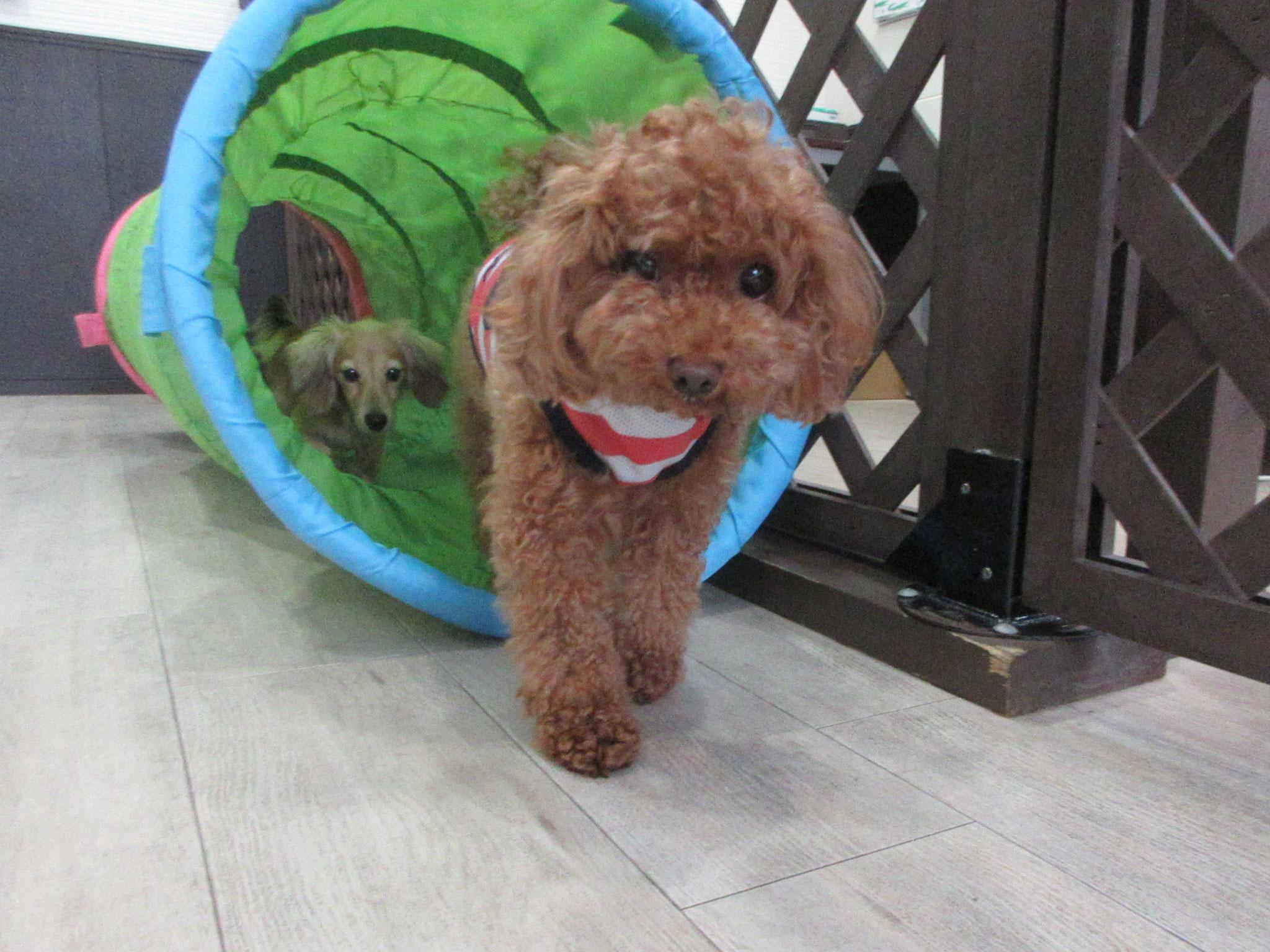ナナちゃん・犬の保育園Baby・犬・犬のしつけ・犬の社会化・習志野市・八千代市・船橋市