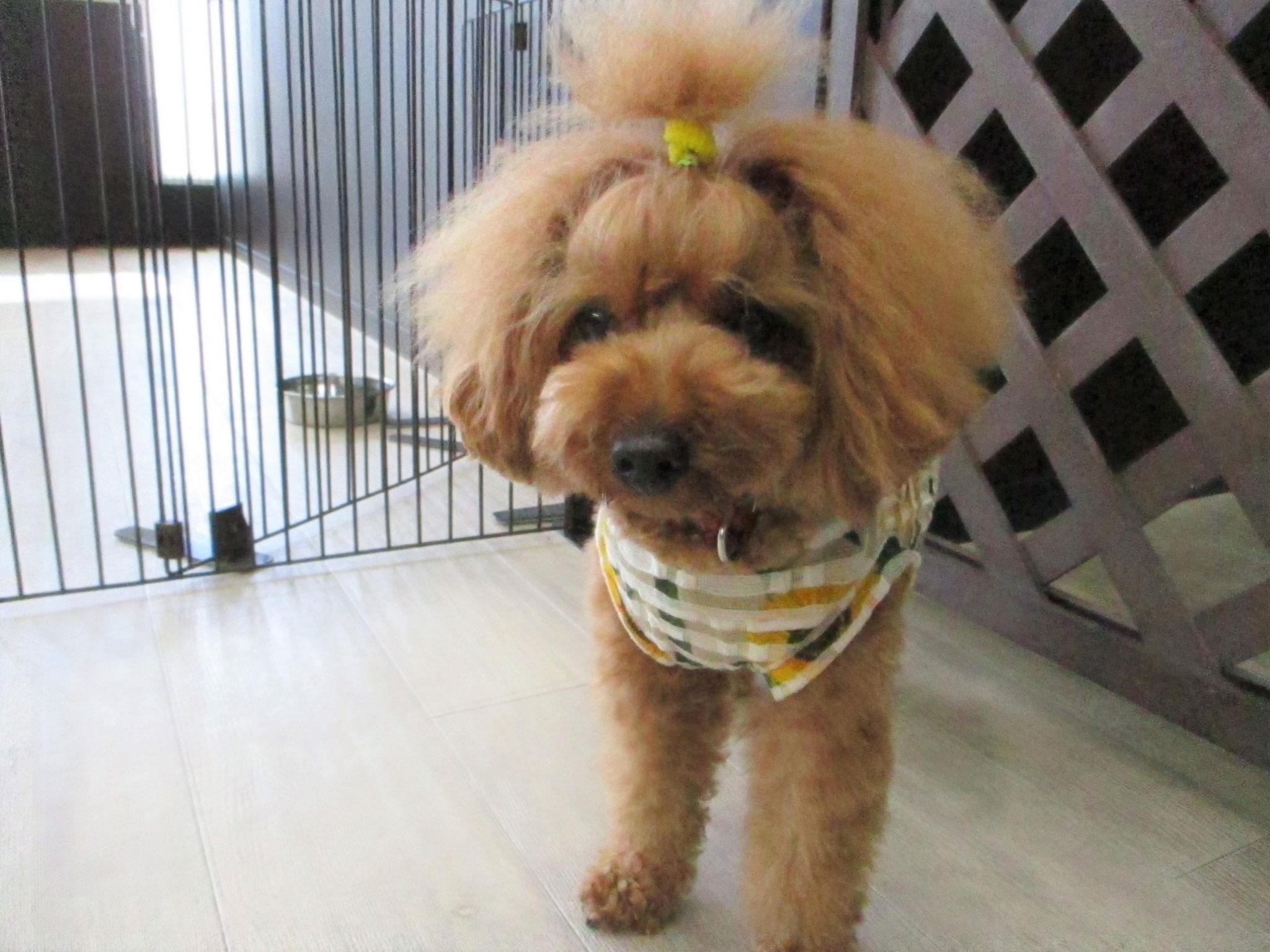 こむぎ(むぎ)ちゃん・犬の保育園Baby・犬・犬のしつけ・犬の社会化