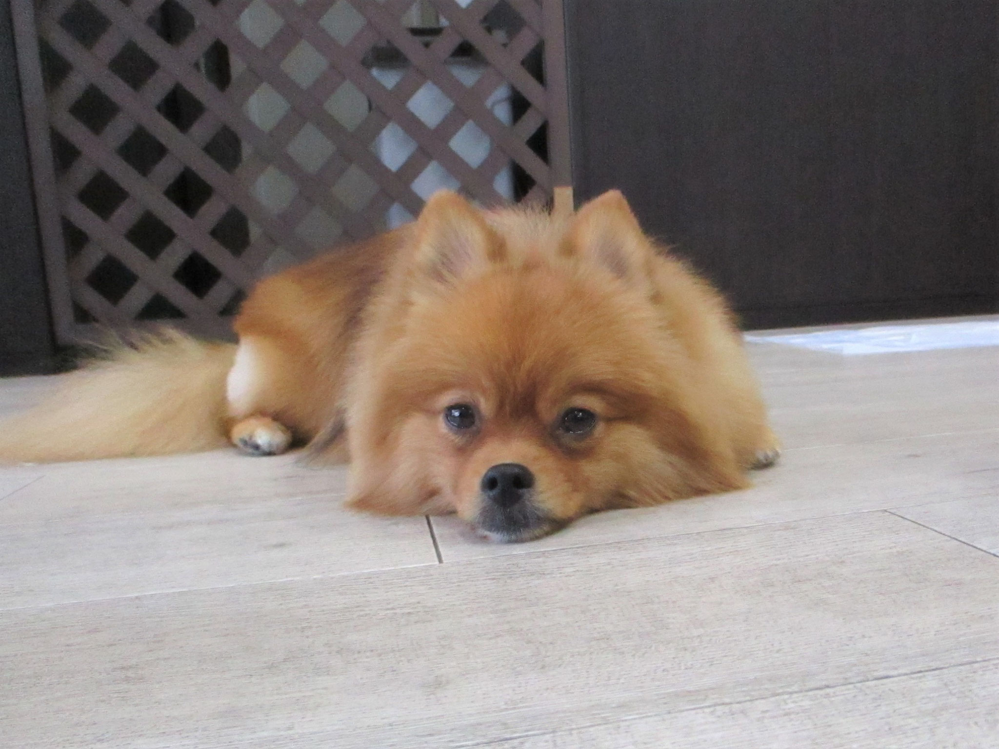 リリーちゃん・犬の保育園Baby・犬・犬のしつけ・犬の社会化