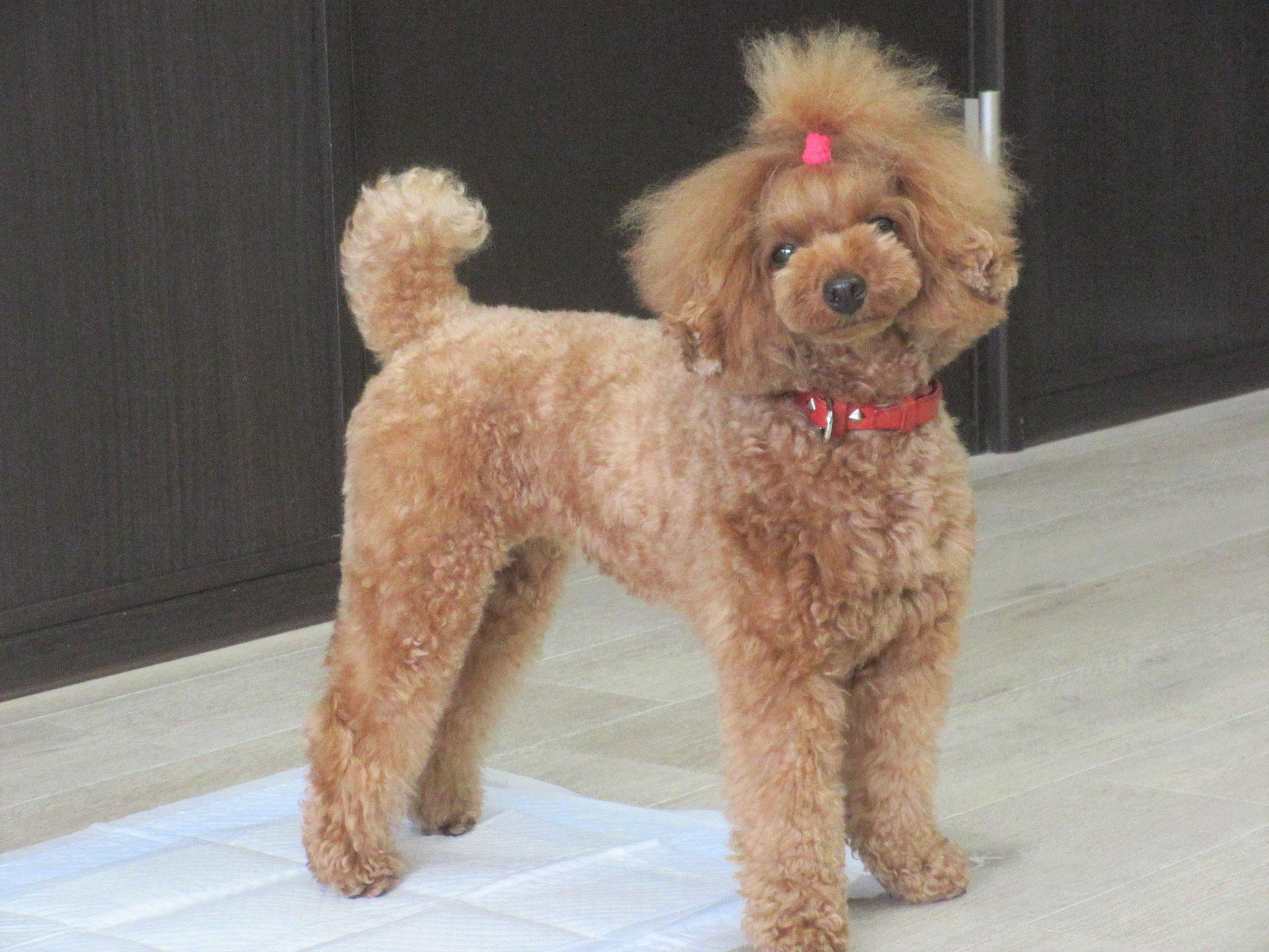 こむぎ(むぎ)ちゃん・犬の保育園Baby・犬・犬のしつけ・犬の社会化・習志野市・八千代市・船橋
