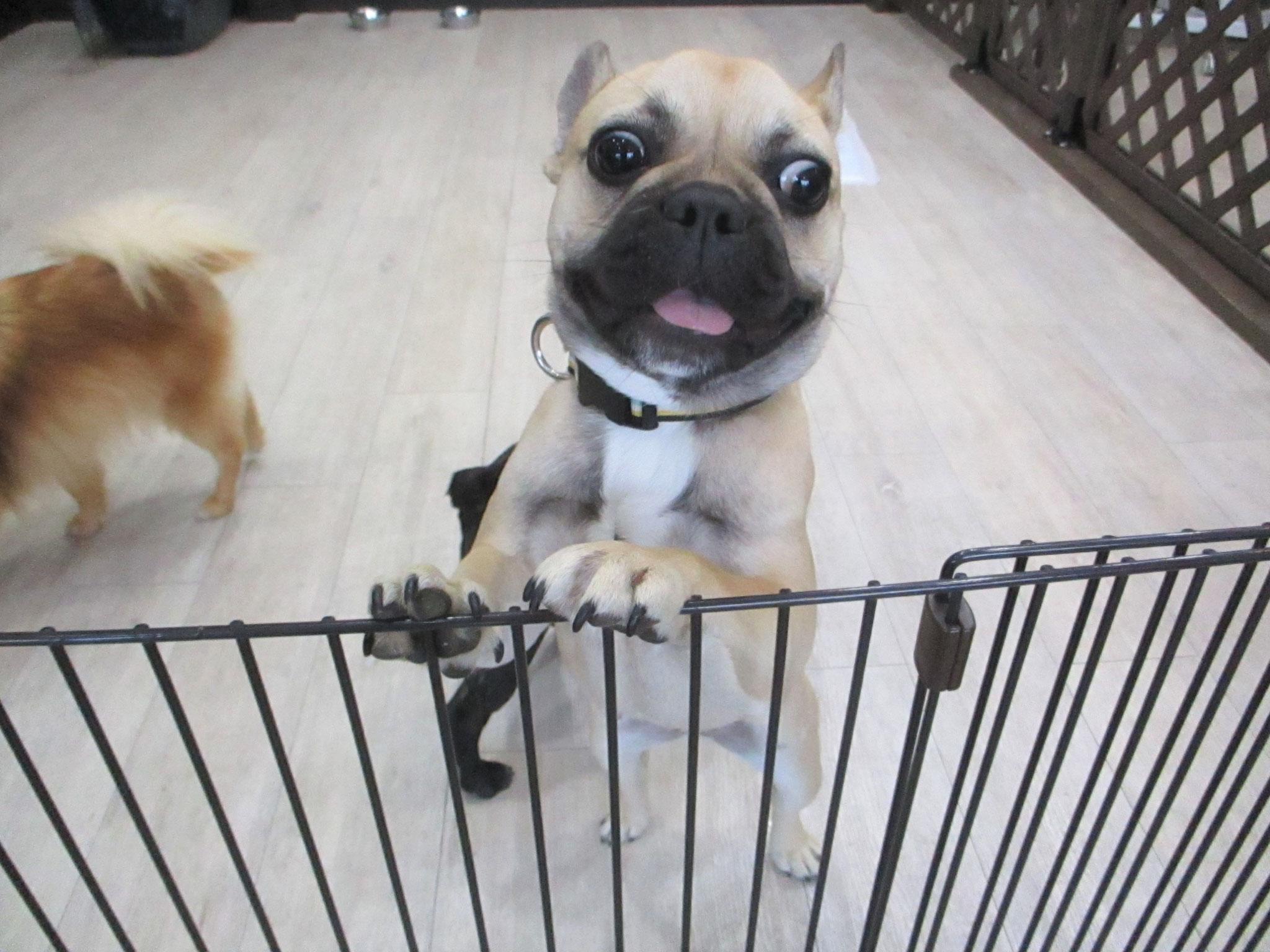 あんずちゃん・犬の保育園Baby・犬・犬のしつけ・犬の社会化・習志野市・八千代市・船橋市