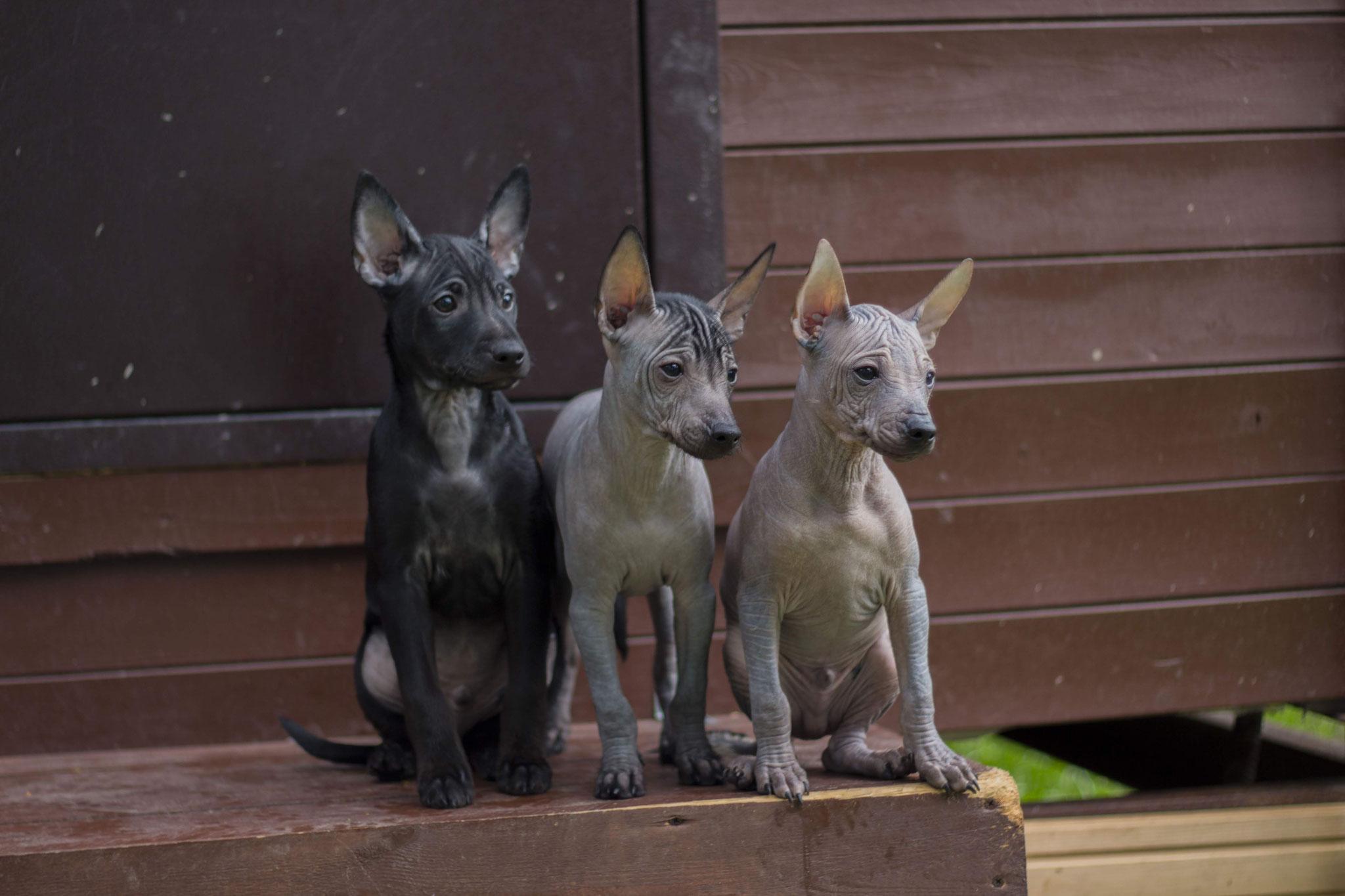 xolo puppies, intermediate and miniature sizes.