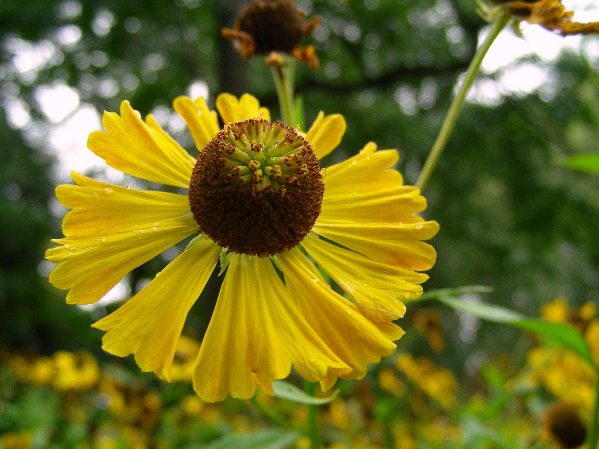 Helenium autumnale - Gewöhnliche Sonnenbraut, Blüte, Seitenansicht