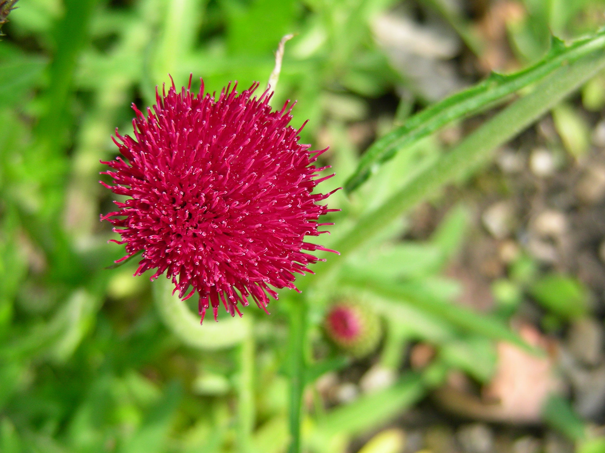 "Cirsium rivulare ""Atropurpureum"" - Bachkratzdistel, Knospe"