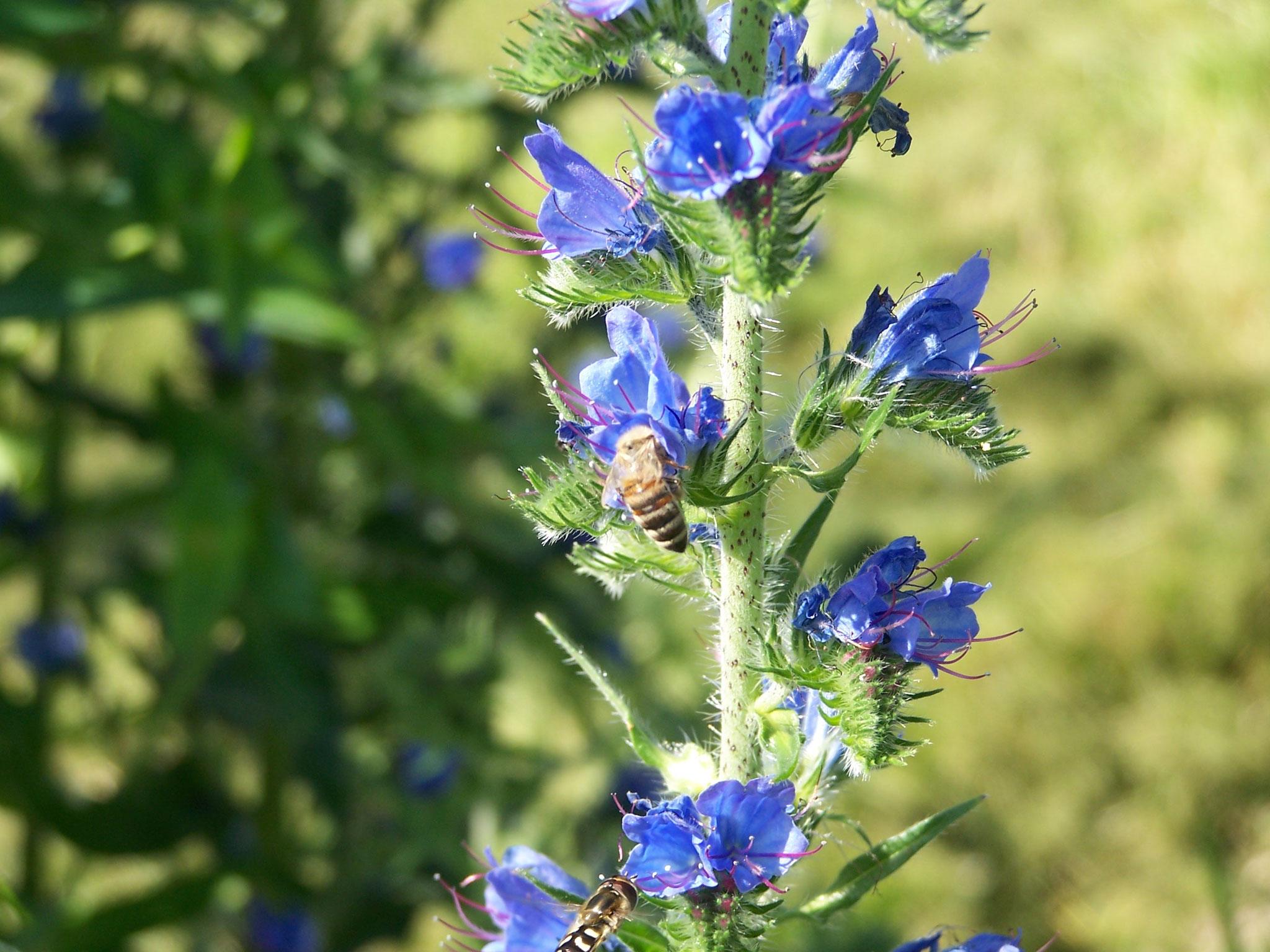 ... Wildbienen ...