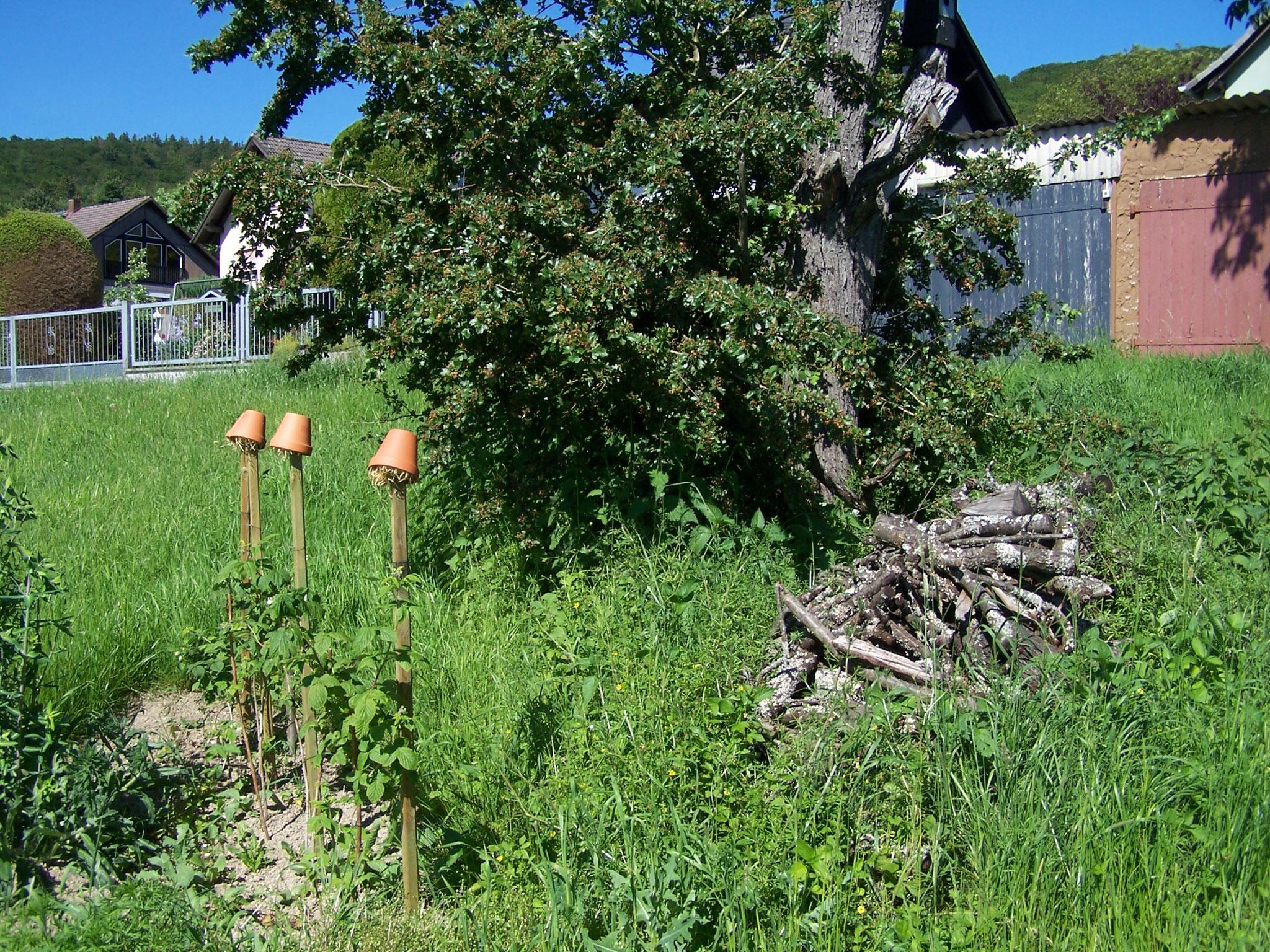 Himbeeren mit Rankhilfe - die Töpfe mit Holzwolle dienen Ohrwürmern als Quartier
