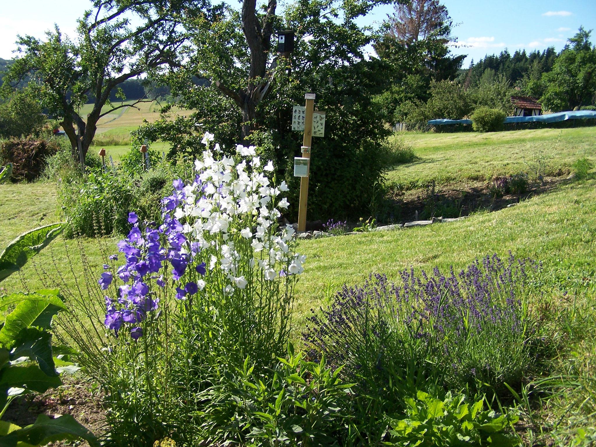 Glockenblumenblüte im Beet für Wildbienen und Schmetterlinge