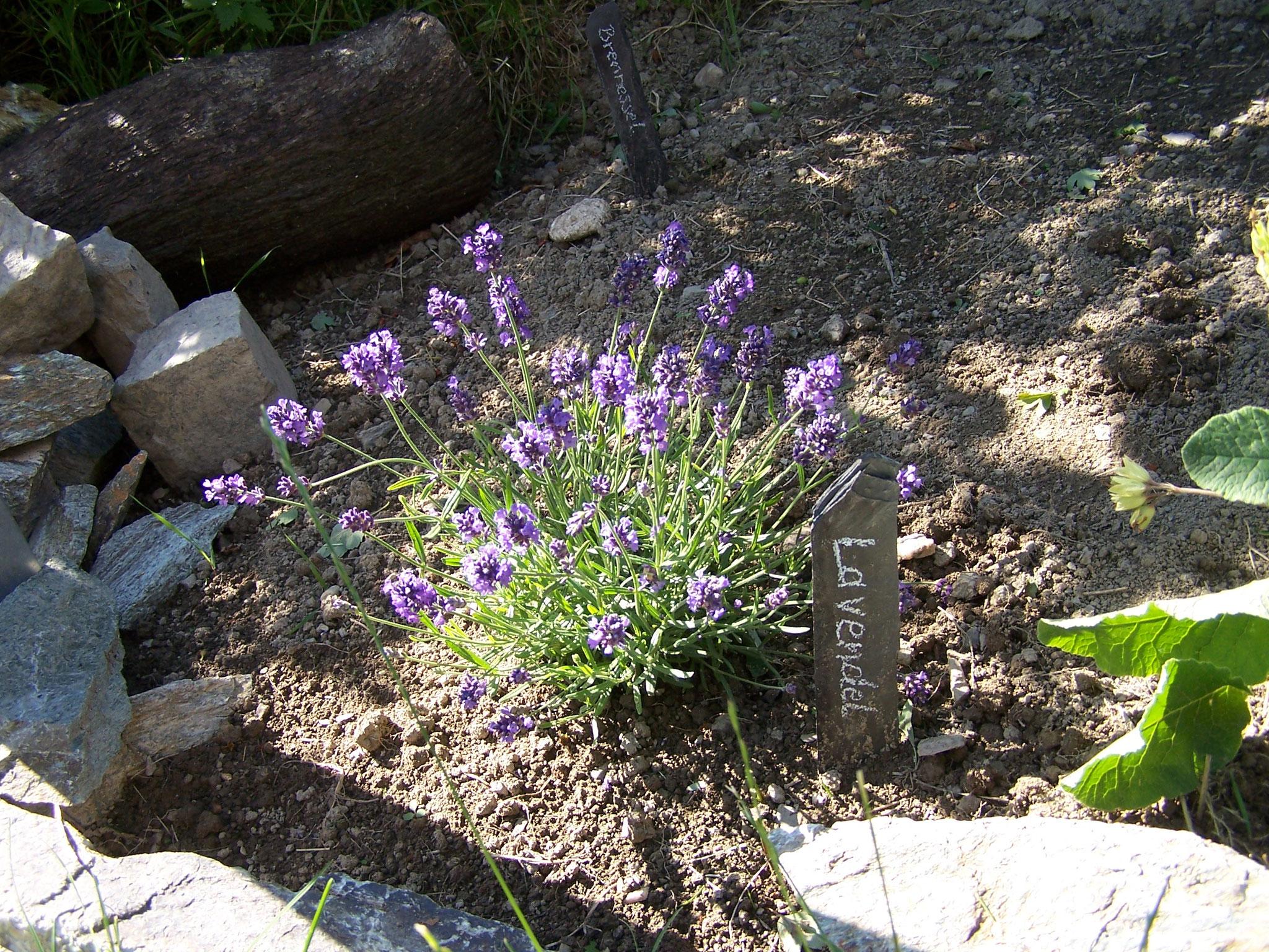 ... Lavendel...